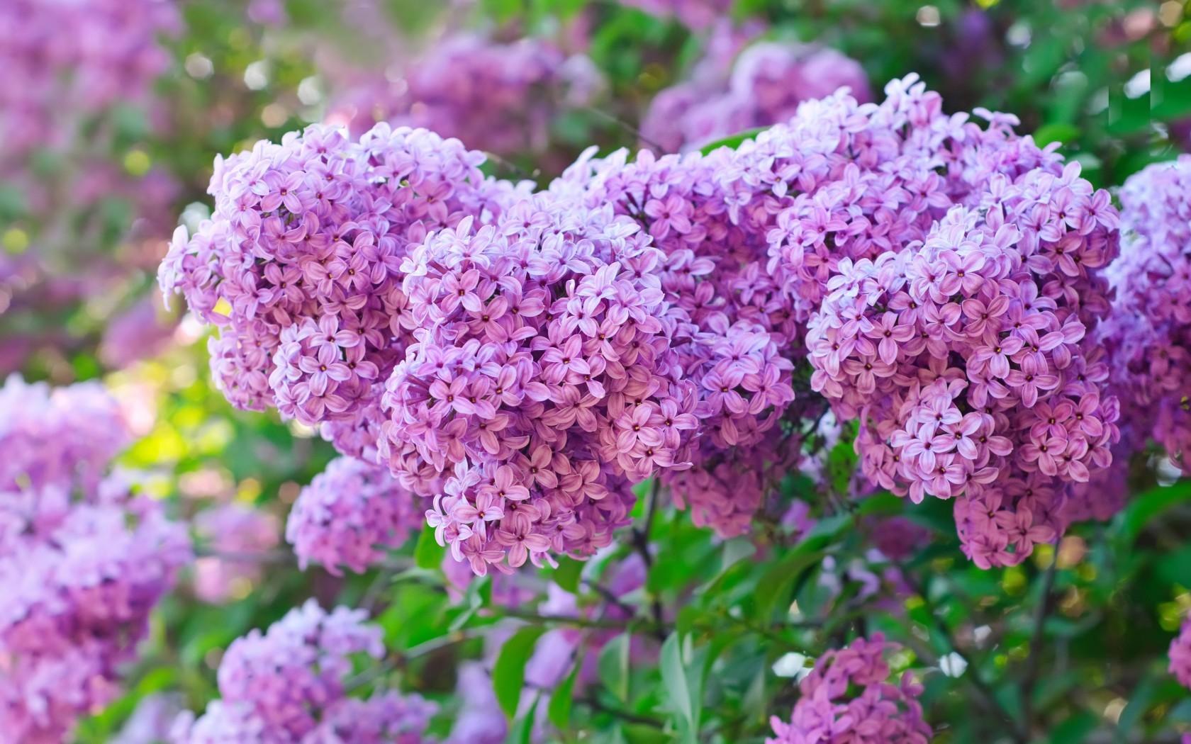 18123 скачать обои Растения, Цветы, Сирень - заставки и картинки бесплатно