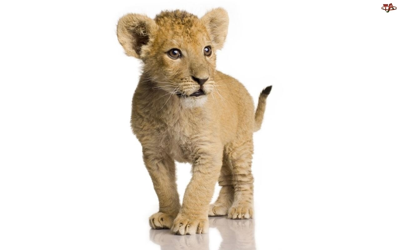 20178 download wallpaper Animals, Lions screensavers and pictures for free