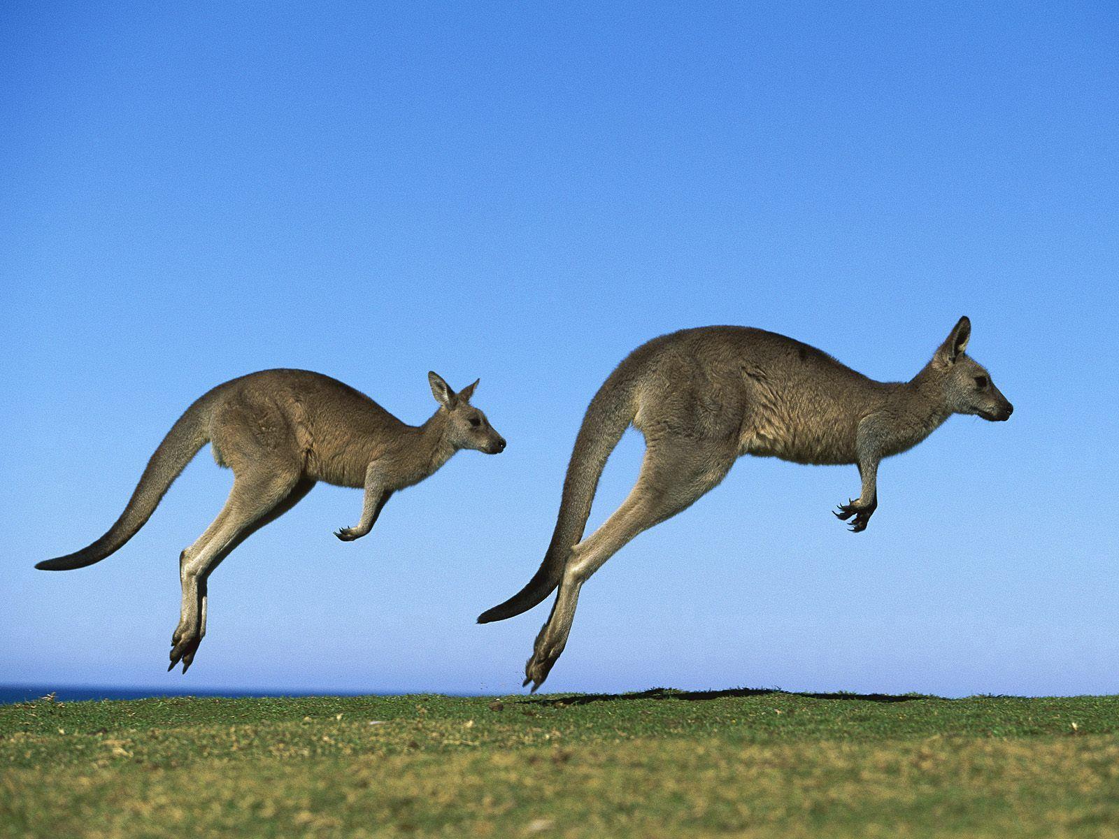 57256 Hintergrundbild herunterladen Tiere, Grass, Sky, Kangaroo, Paar, Feld, Prallen, Springen - Bildschirmschoner und Bilder kostenlos