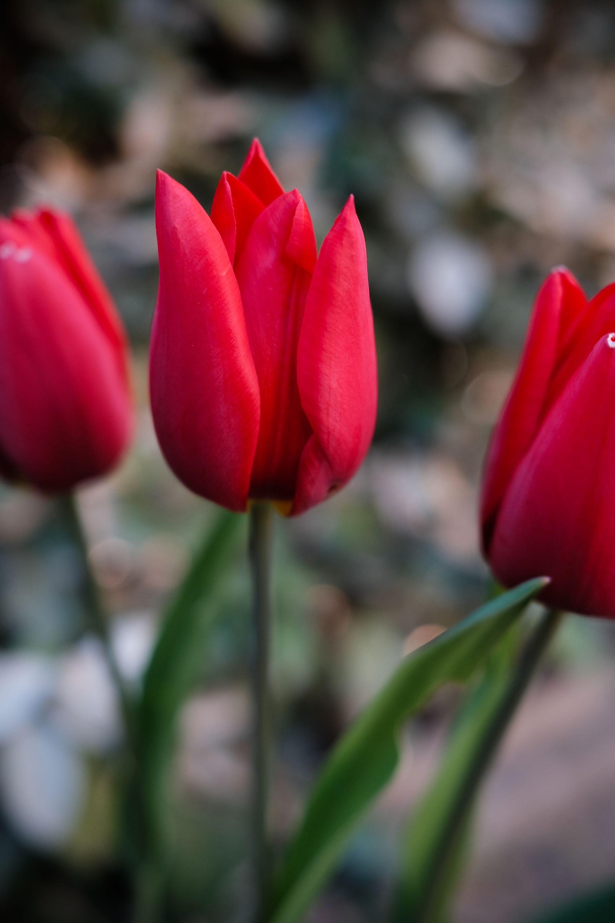 96170 скачать обои Цветы, Растение, Красный, Тюльпаны - заставки и картинки бесплатно