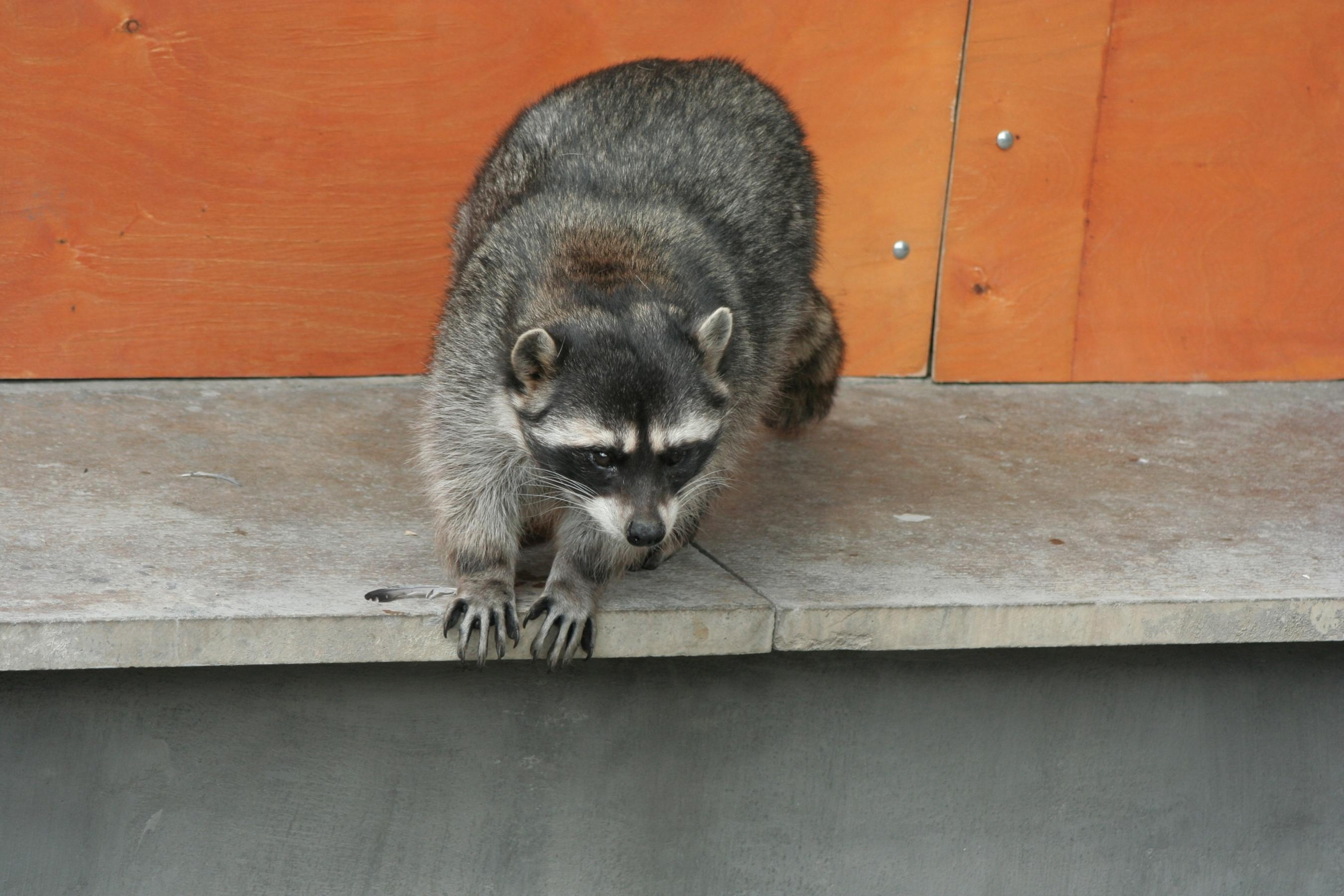 113214 Screensavers and Wallpapers Raccoon for phone. Download Animals, Spotted, Spotty, Climb, Raccoon pictures for free