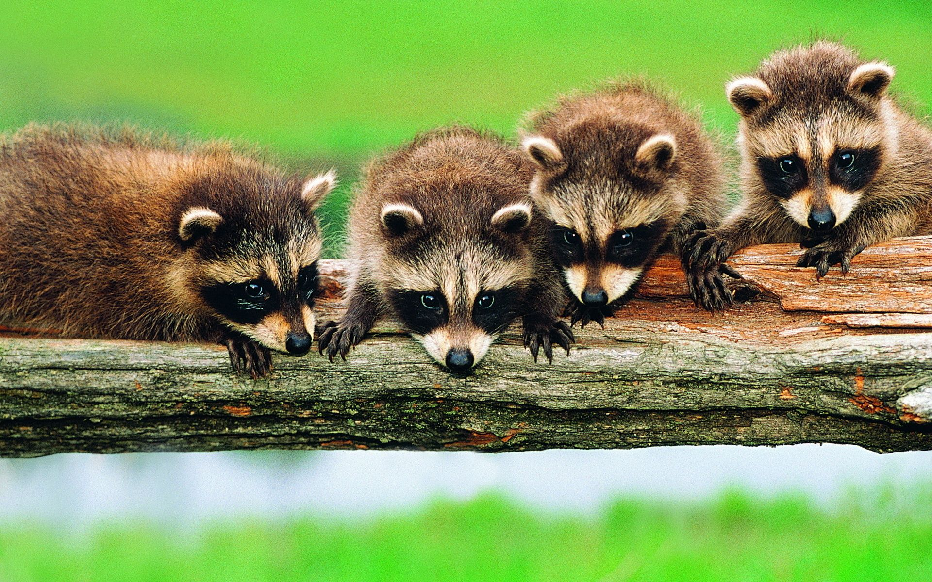 91402 download wallpaper Animals, Raccoons, Wood, Forest, Tree, Branch, Family screensavers and pictures for free