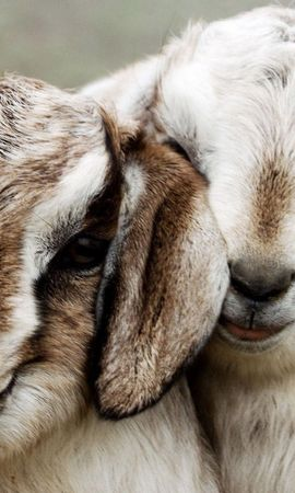 79661 download wallpaper Animals, Sheep, Couple, Pair, Beautiful, Lambs screensavers and pictures for free