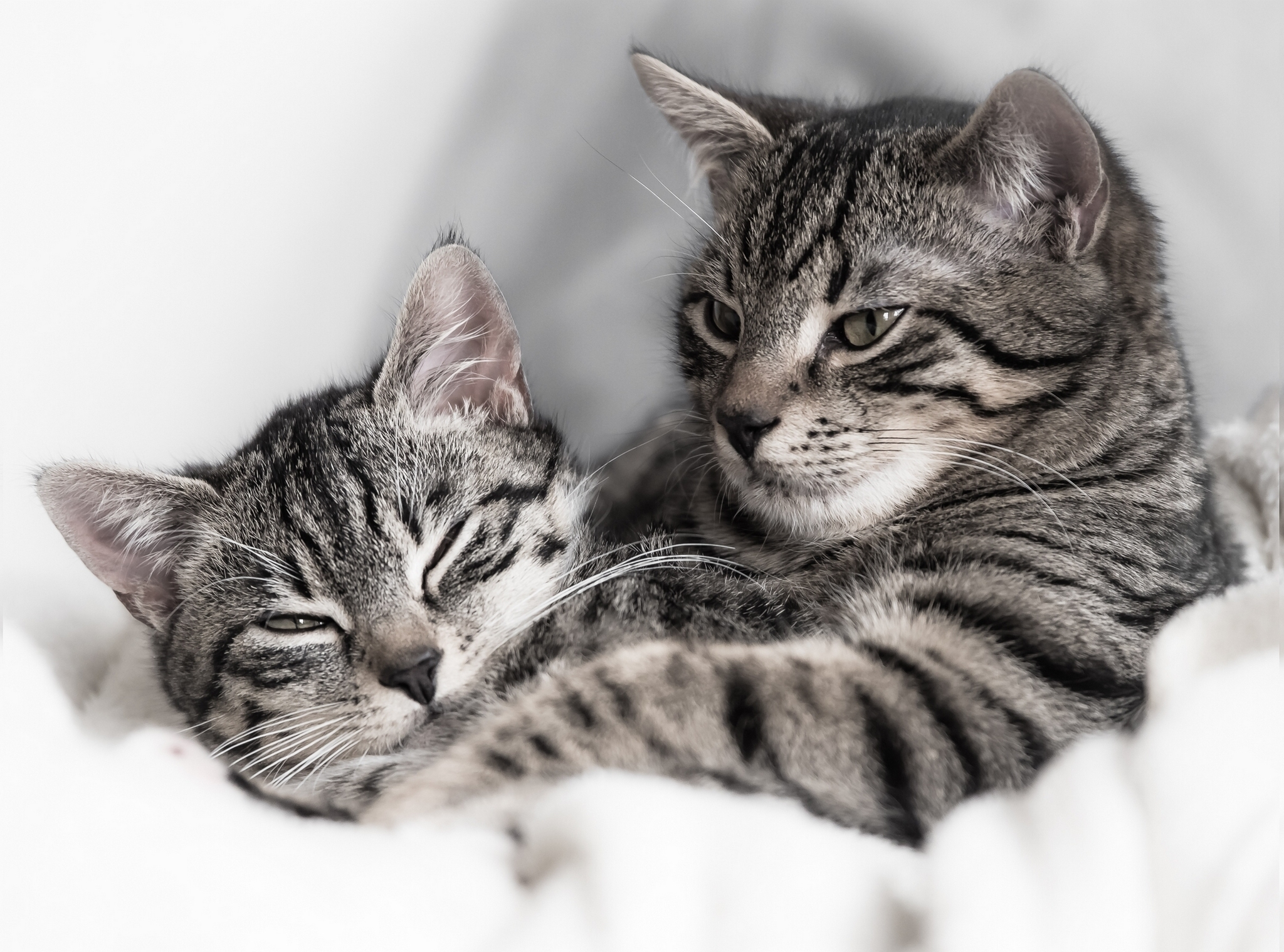 131527 Screensavers and Wallpapers Cats for phone. Download Animals, Cats, Kitty, Kitten, Couple, Pair, Striped pictures for free