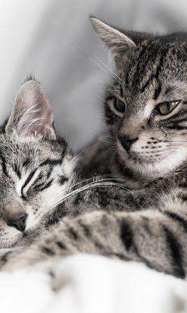 131527 baixar papel de parede Animais, Gatos, Gatinha, Gatinho, Casal, Par, Listrado - protetores de tela e imagens gratuitamente