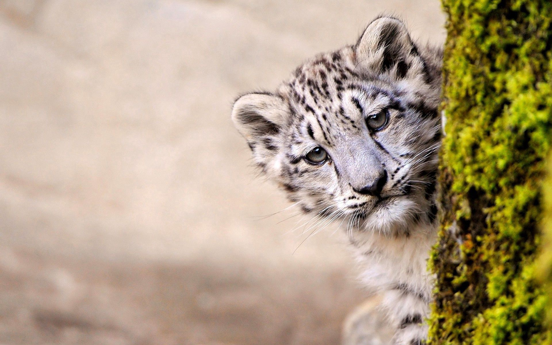 142166 Screensavers and Wallpapers Young for phone. Download Animals, Snow Leopard, Wood, Young, Tree, Muzzle, Joey, Peek Out, Look Out pictures for free