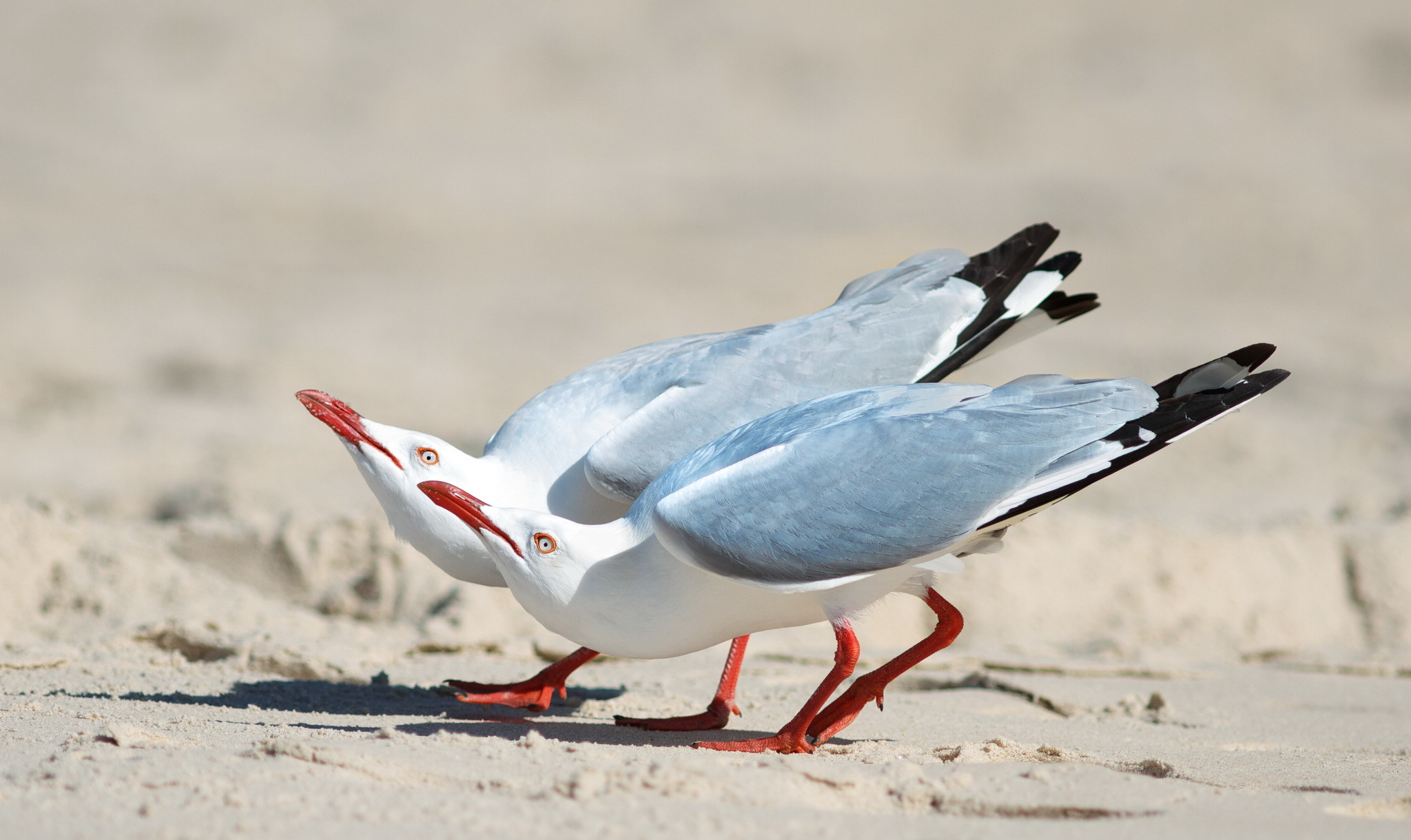 56544 download wallpaper Animals, Couple, Pair, Birds, Seagulls screensavers and pictures for free