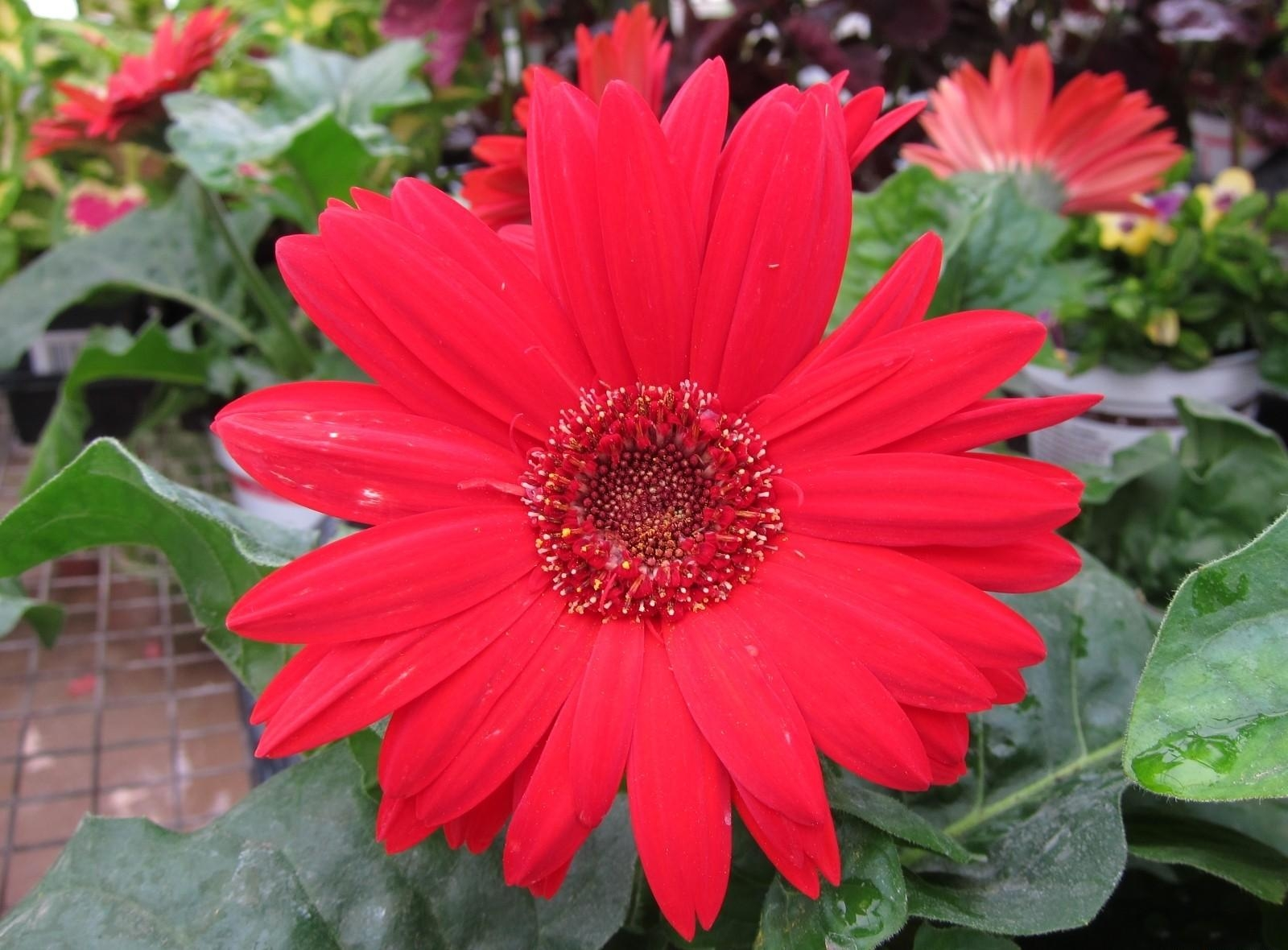 100578 download wallpaper Flowers, Gerbera, Flower, Garden, Close-Up, Leaves screensavers and pictures for free