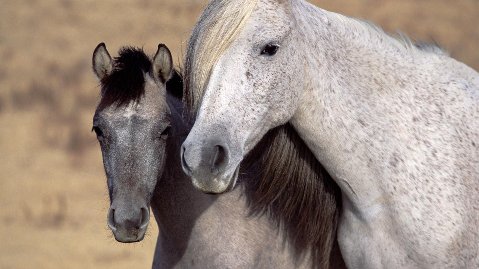 64528 скачать обои Лошади, Животные, Пара, Морда, Грива - заставки и картинки бесплатно