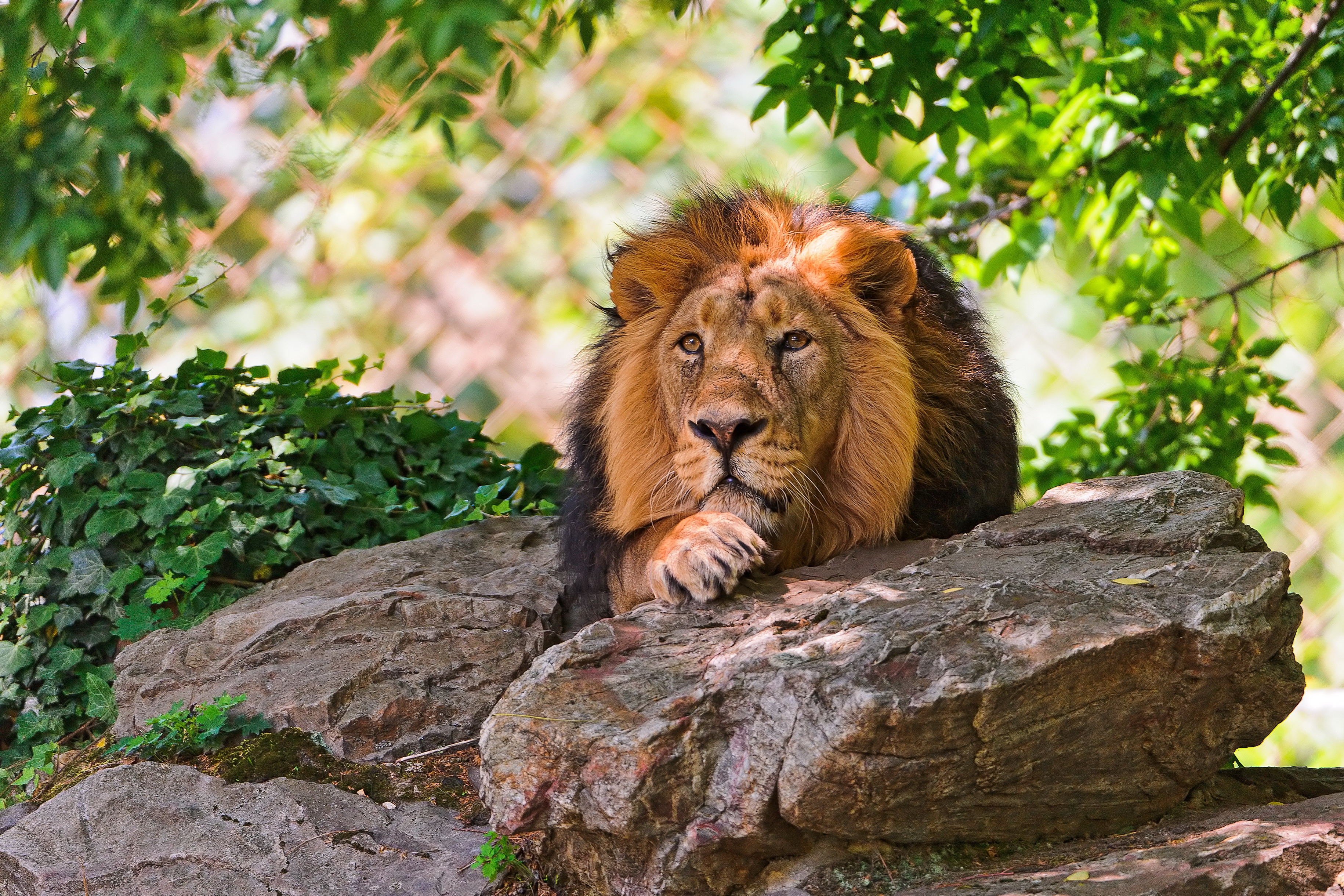 75008 Protetores de tela e papéis de parede Rei Das Feras em seu telefone. Baixe Animais, Pedras, Leão, Deitar-Se, Mentir, Focinho, Um Leão, Predator, Predador, Gato Grande, Rei Das Feras, Rei Das Bestas fotos gratuitamente