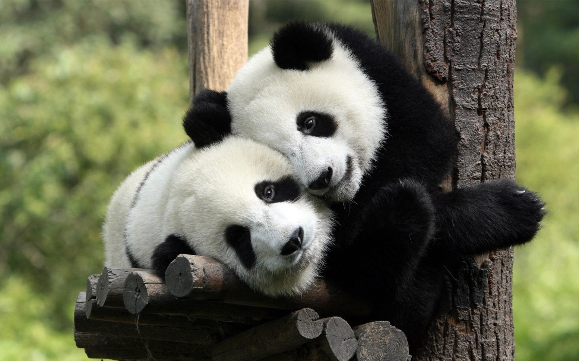 31861 download wallpaper Animals, Pandas screensavers and pictures for free