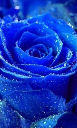 9752 завантажити шпалери Рослини, Квіти, Рози, Краплі - заставки і картинки безкоштовно