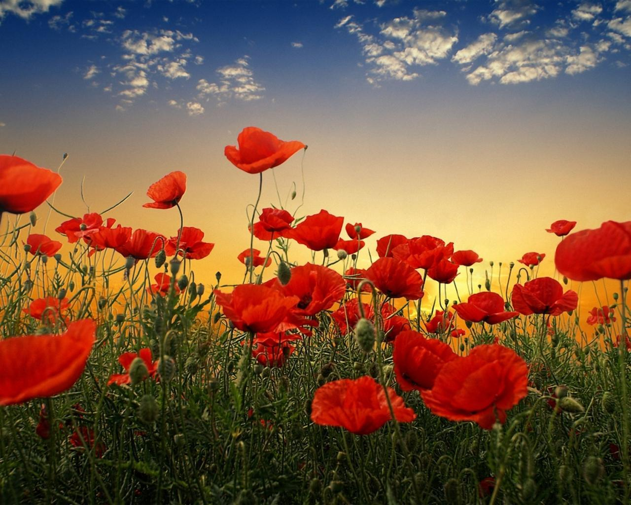 40508 скачать обои Растения, Цветы, Маки - заставки и картинки бесплатно