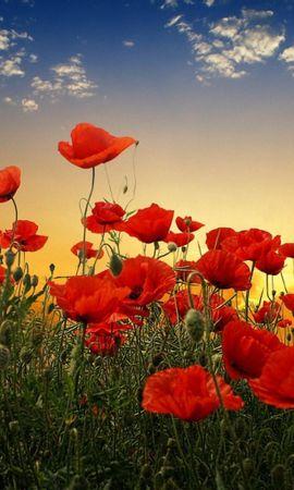 40508 descargar fondo de pantalla Plantas, Flores, Amapolas: protectores de pantalla e imágenes gratis