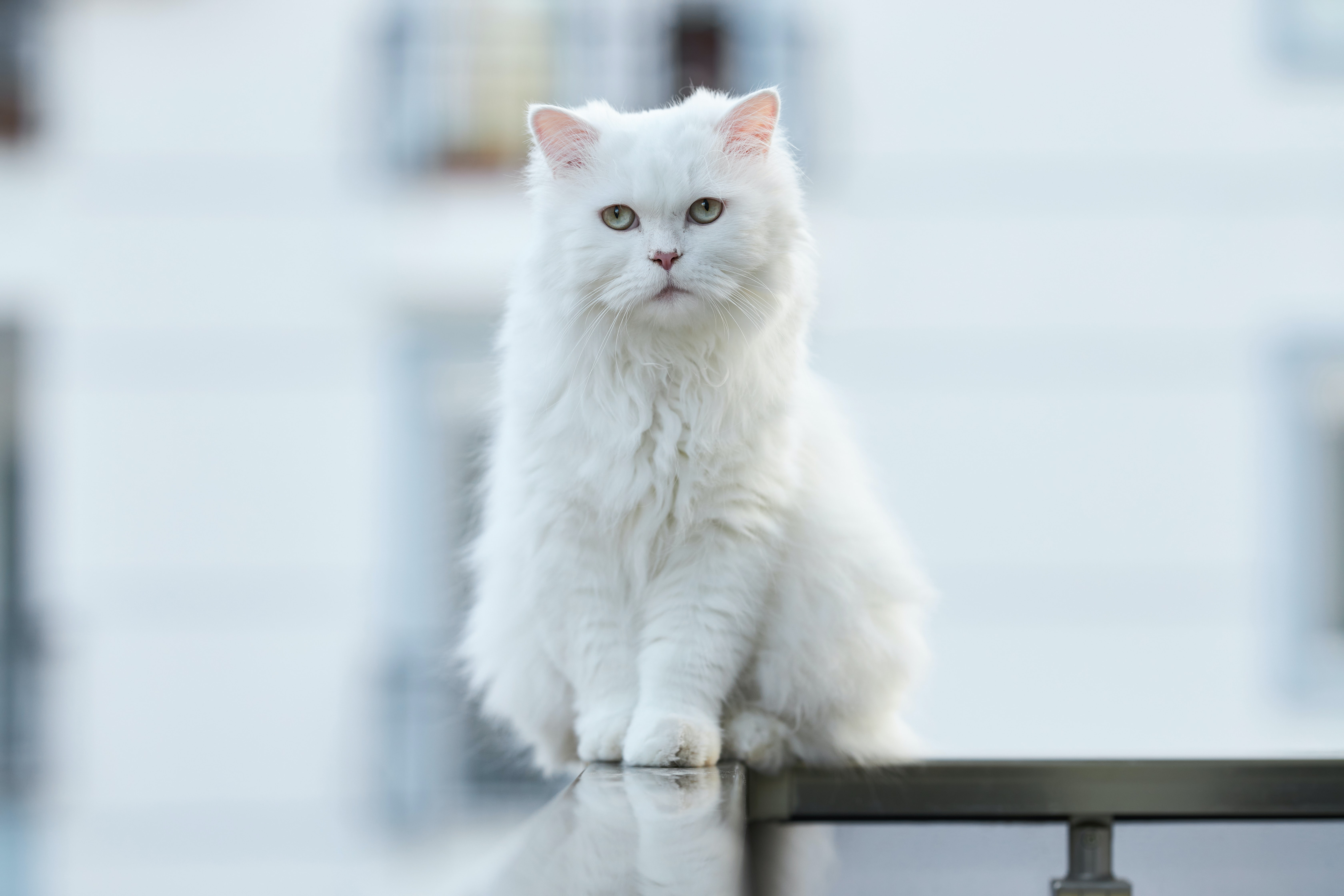 98324 download wallpaper Animals, Cat, Pet, Sight, Opinion, Fluffy screensavers and pictures for free