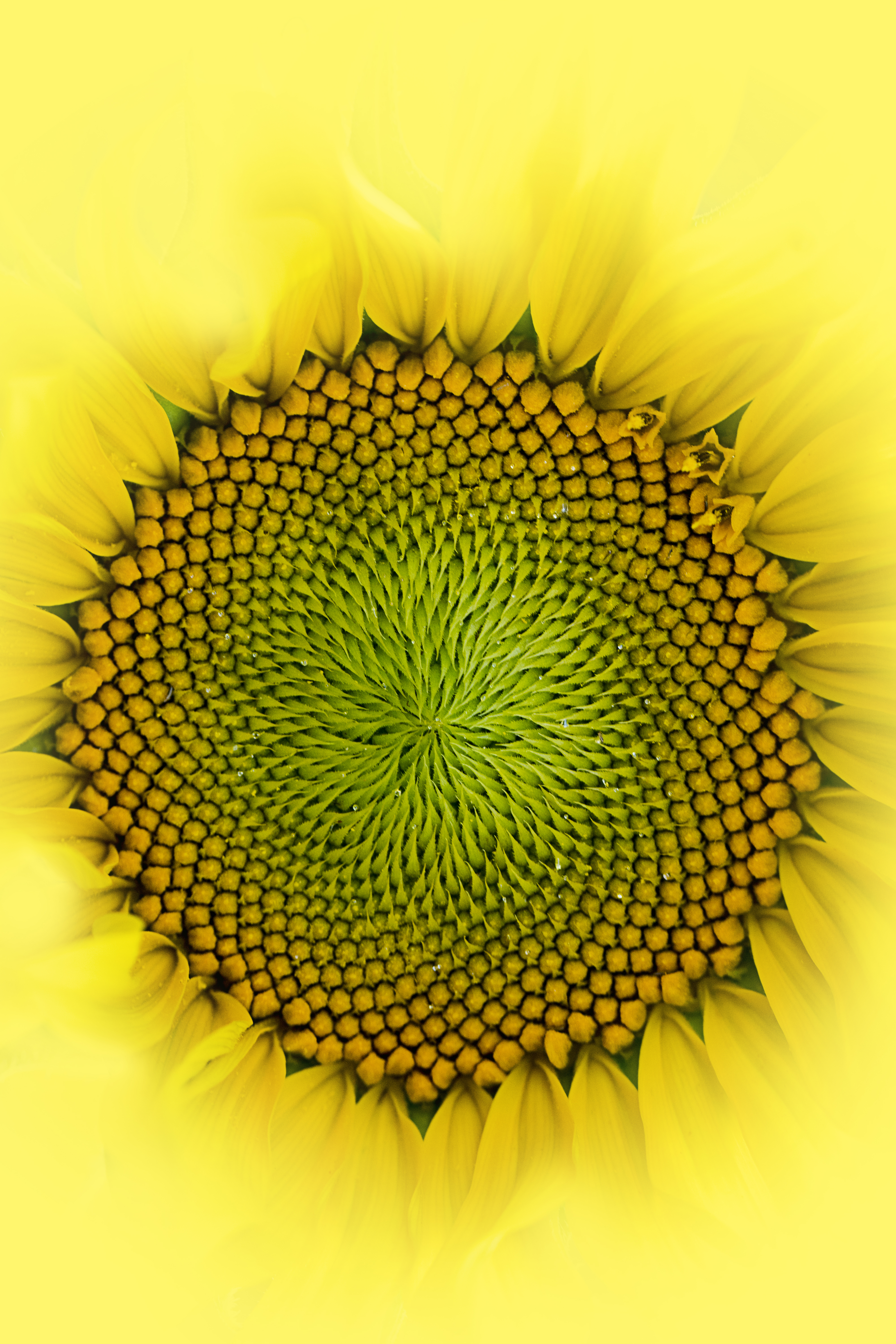 76219 Screensavers and Wallpapers Drops for phone. Download Drops, Flower, Macro, Petals, Sunflower pictures for free