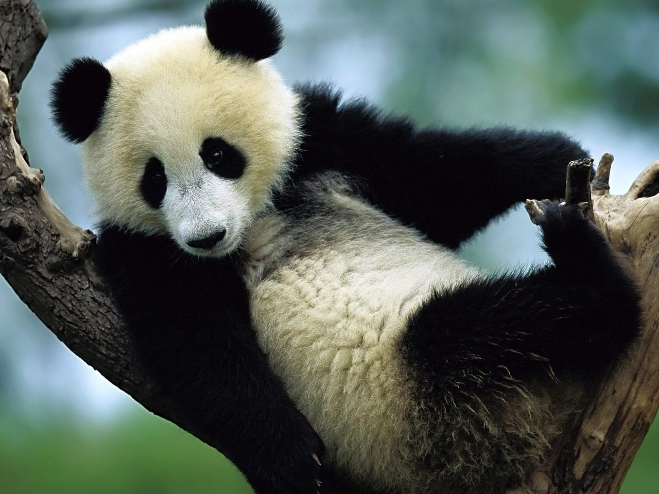 38325 download wallpaper Animals, Pandas screensavers and pictures for free