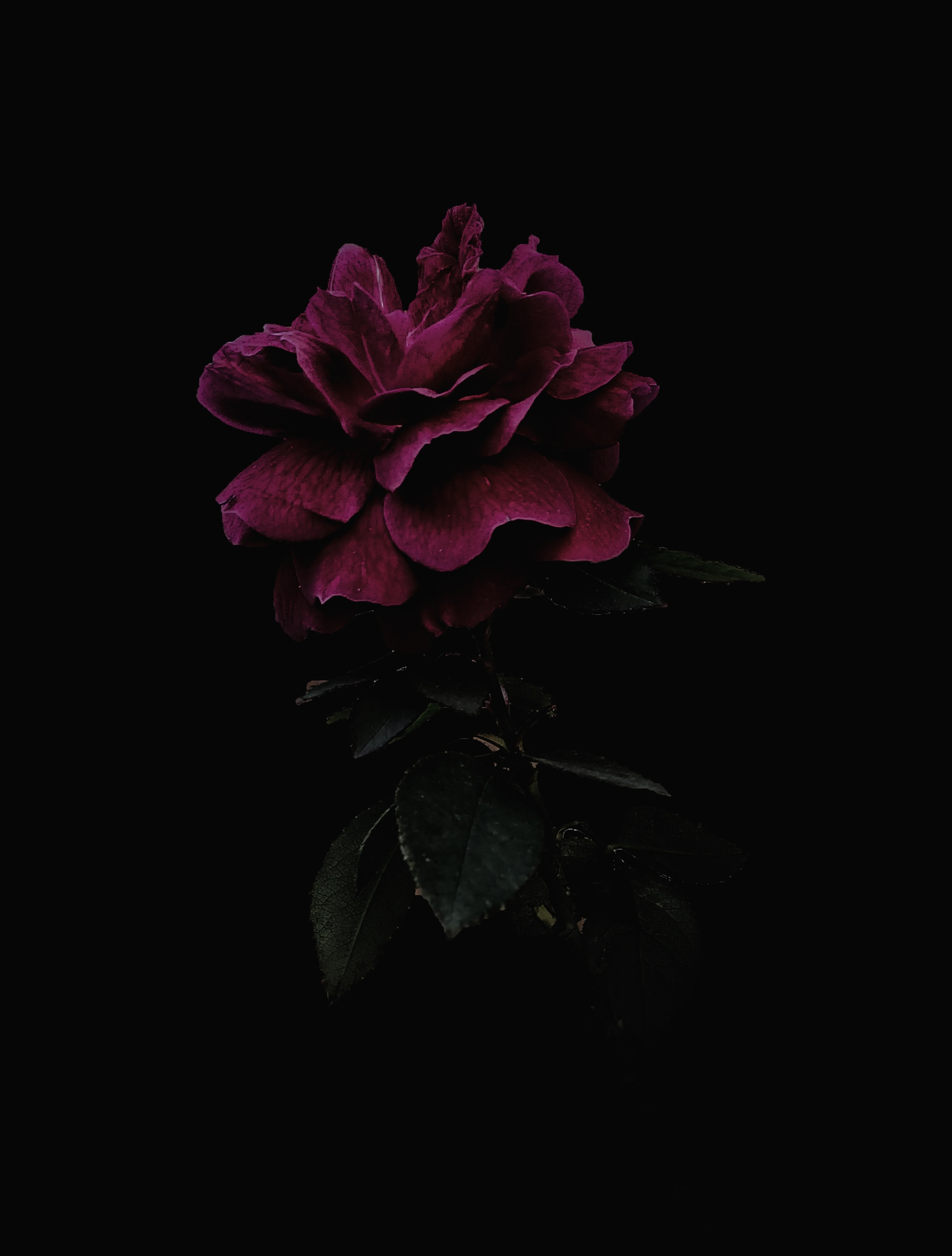 58066 download wallpaper Pink, Flower, Dark, Rose Flower, Rose screensavers and pictures for free