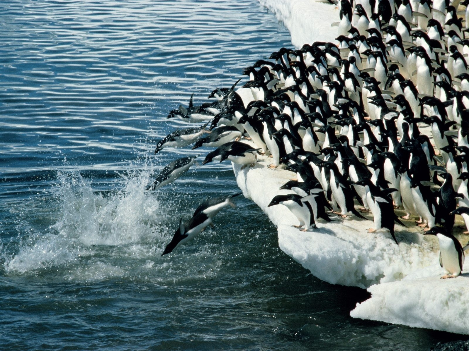 4123 download wallpaper Animals, Winter, Water, Pinguins, Sea, Antarctica, Arctic screensavers and pictures for free