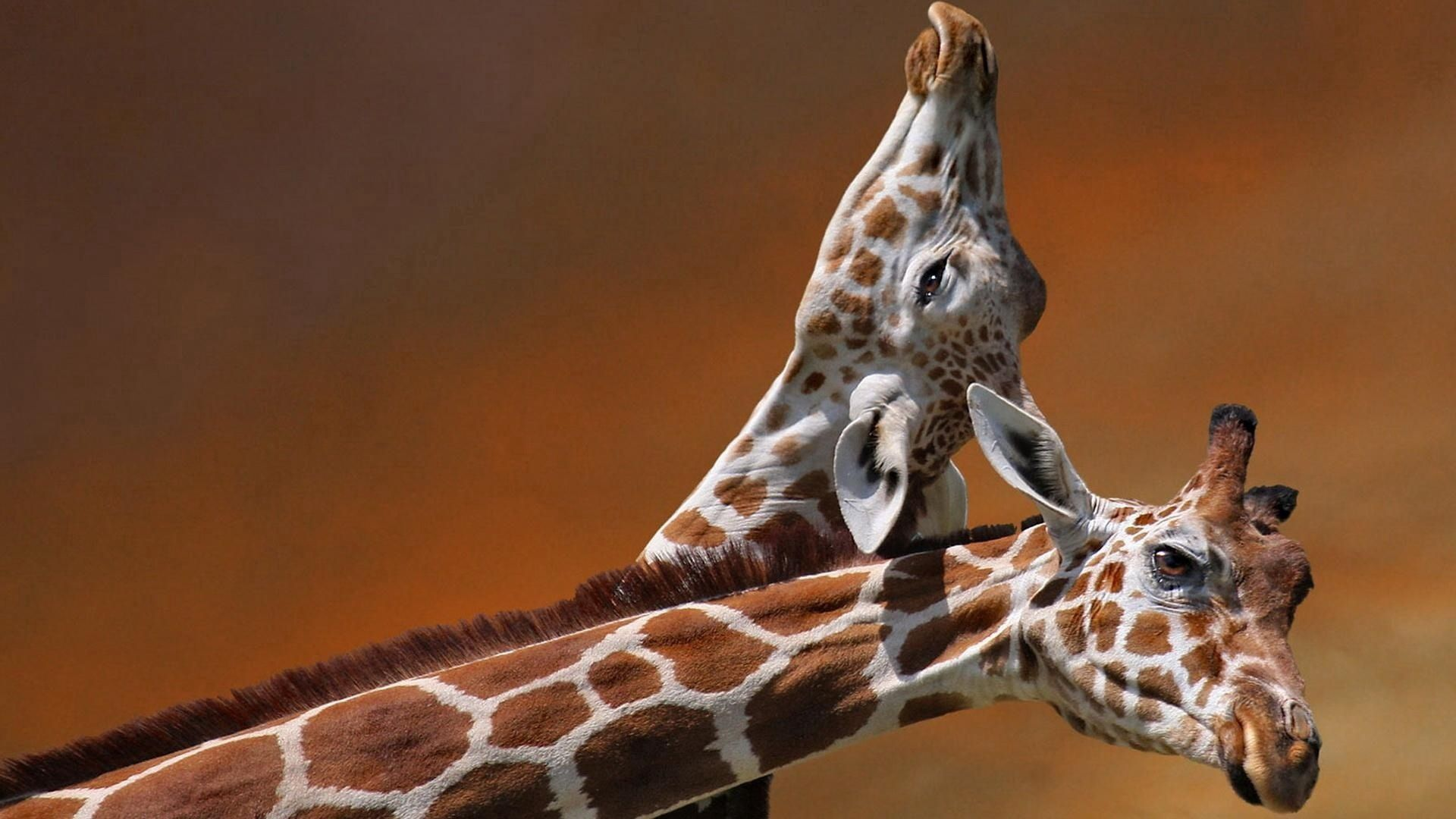 127948 download wallpaper Animals, Couple, Pair, Care, Spotted, Spotty, Head, Giraffes screensavers and pictures for free