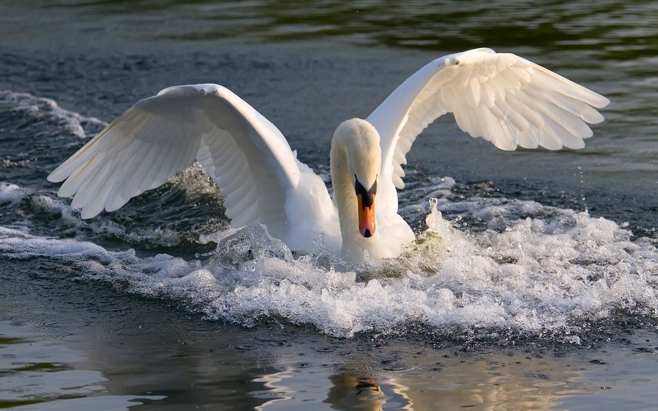 8915 download wallpaper Animals, Birds, Water, Swans screensavers and pictures for free