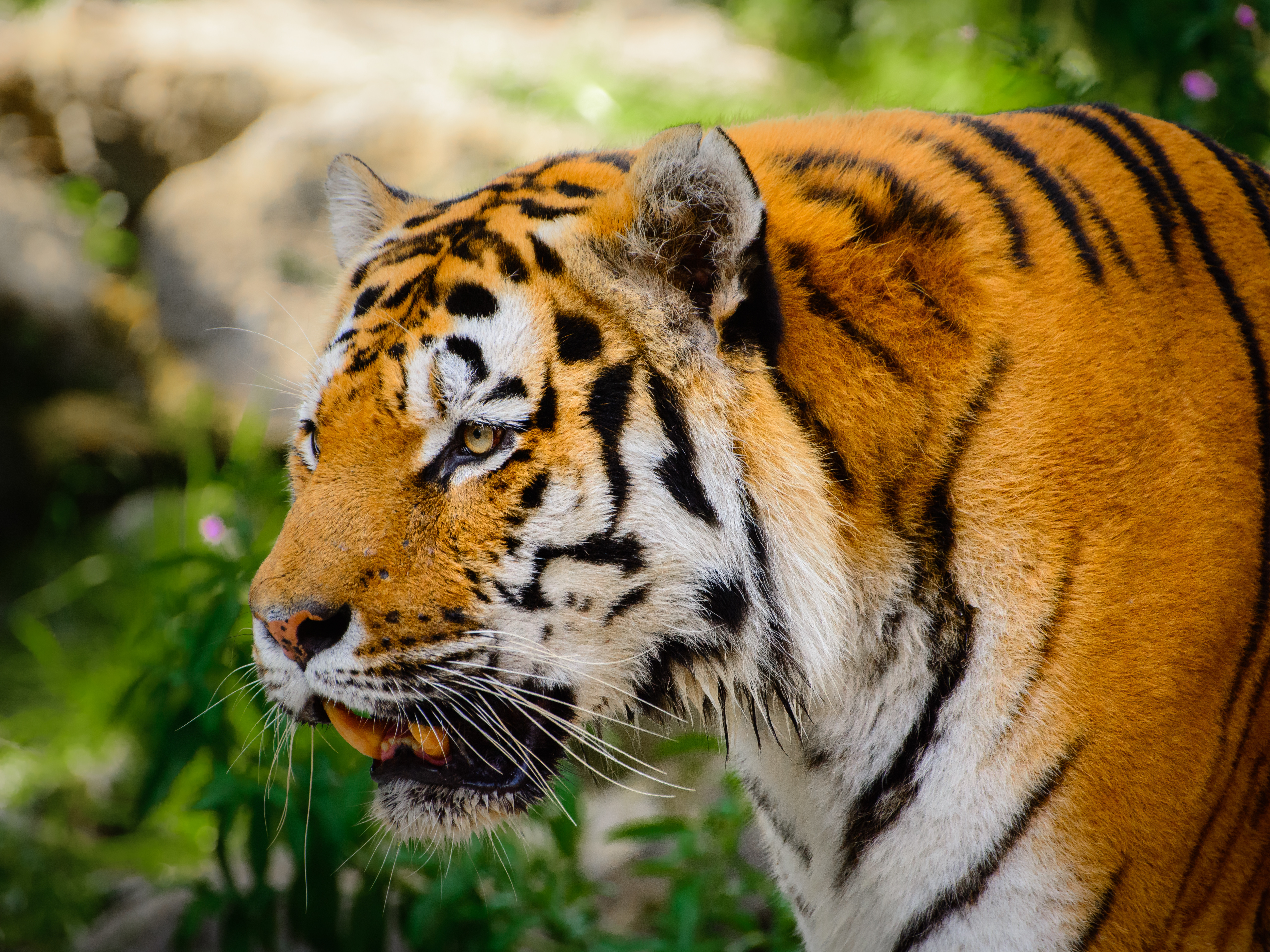 117480 download wallpaper Animals, Tiger, Big Cat, Fangs, Mustache, Moustache screensavers and pictures for free