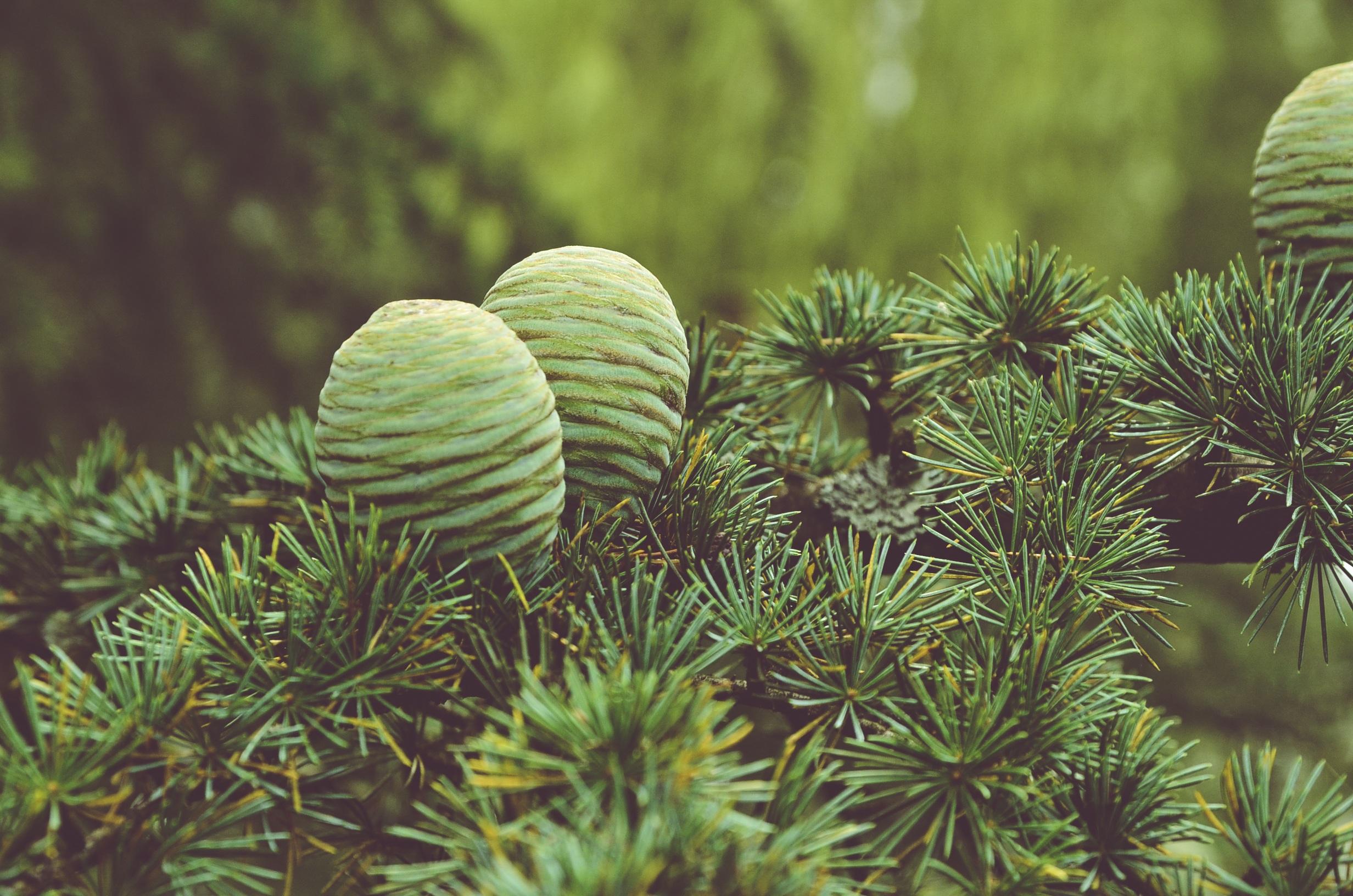 104064 скачать обои Природа, Шишки, Дерево, Хвоя - заставки и картинки бесплатно