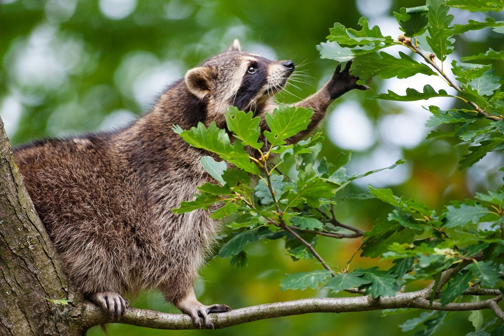 57522 Screensavers and Wallpapers Raccoon for phone. Download Animals, Leaves, Branch, Climb, Raccoon pictures for free