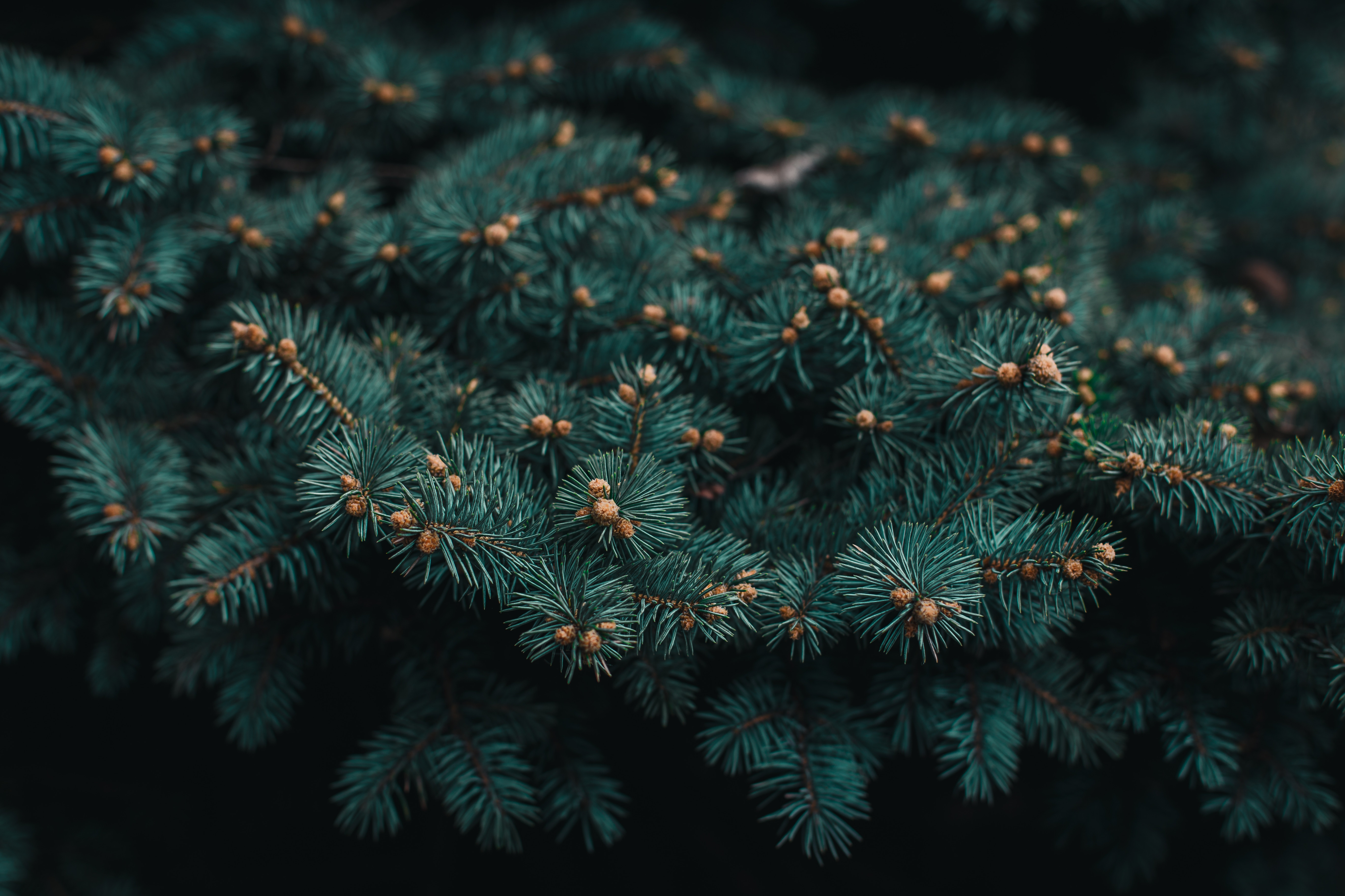 141764 download wallpaper Needle, Macro, Branch, Needles, Barbed, Spiny, Christmas Tree, Evergreen screensavers and pictures for free