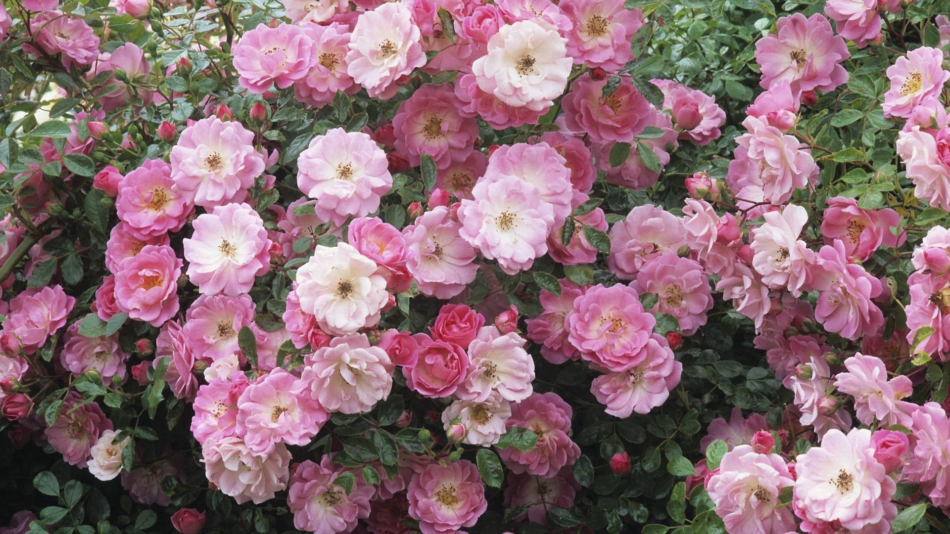 114896 скачать обои Цветы, Розовый, Дикая Роза, Листья, Шиповник - заставки и картинки бесплатно