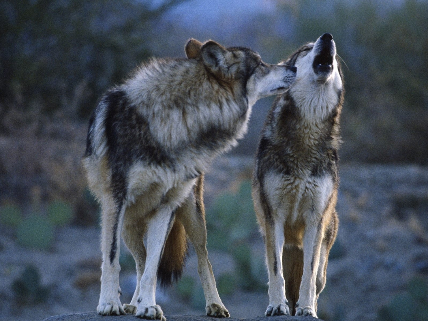 29548 download wallpaper Animals, Wolfs screensavers and pictures for free