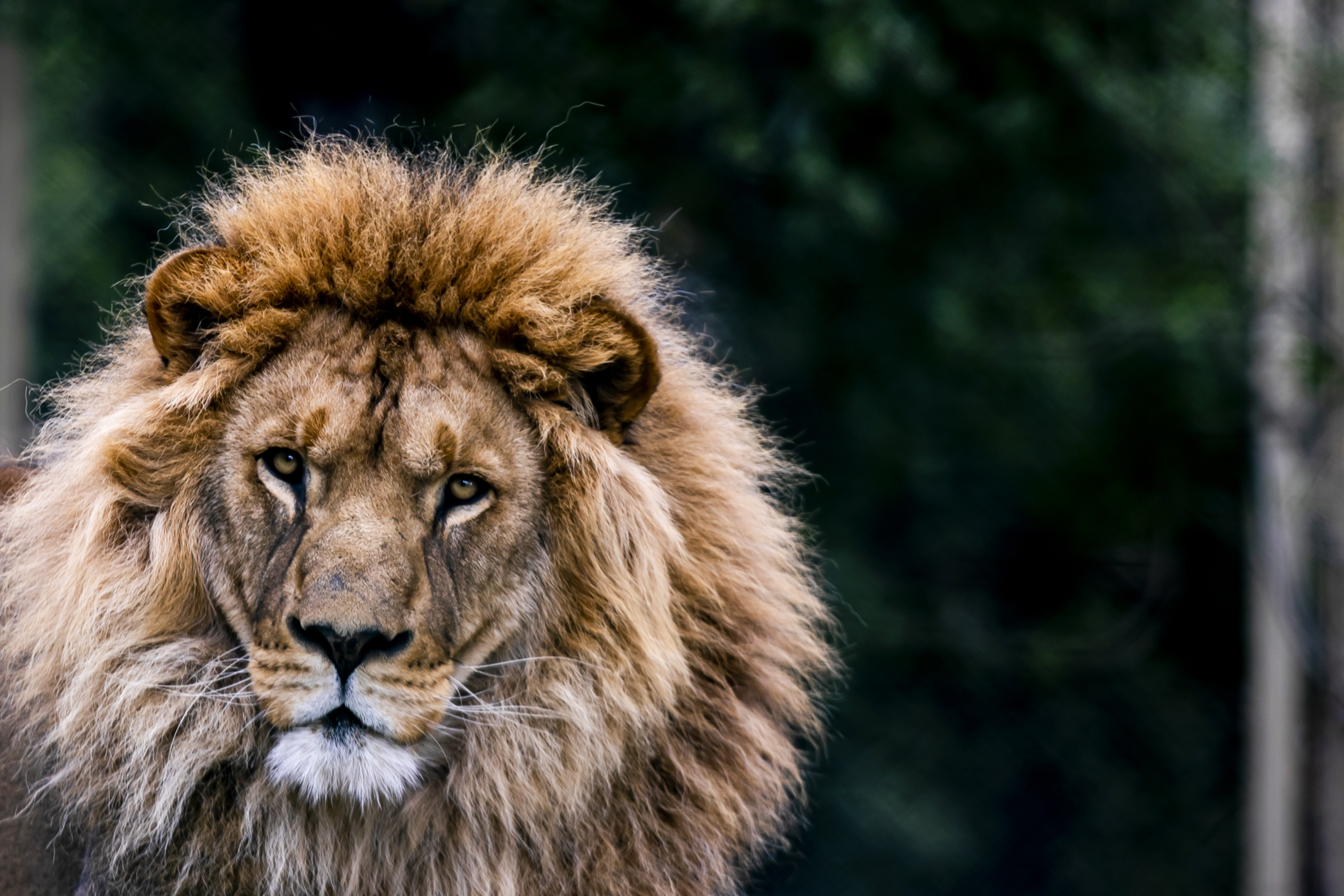 102060 download wallpaper Animals, Lion, Animal, Predator, Big Cat, Wildlife screensavers and pictures for free