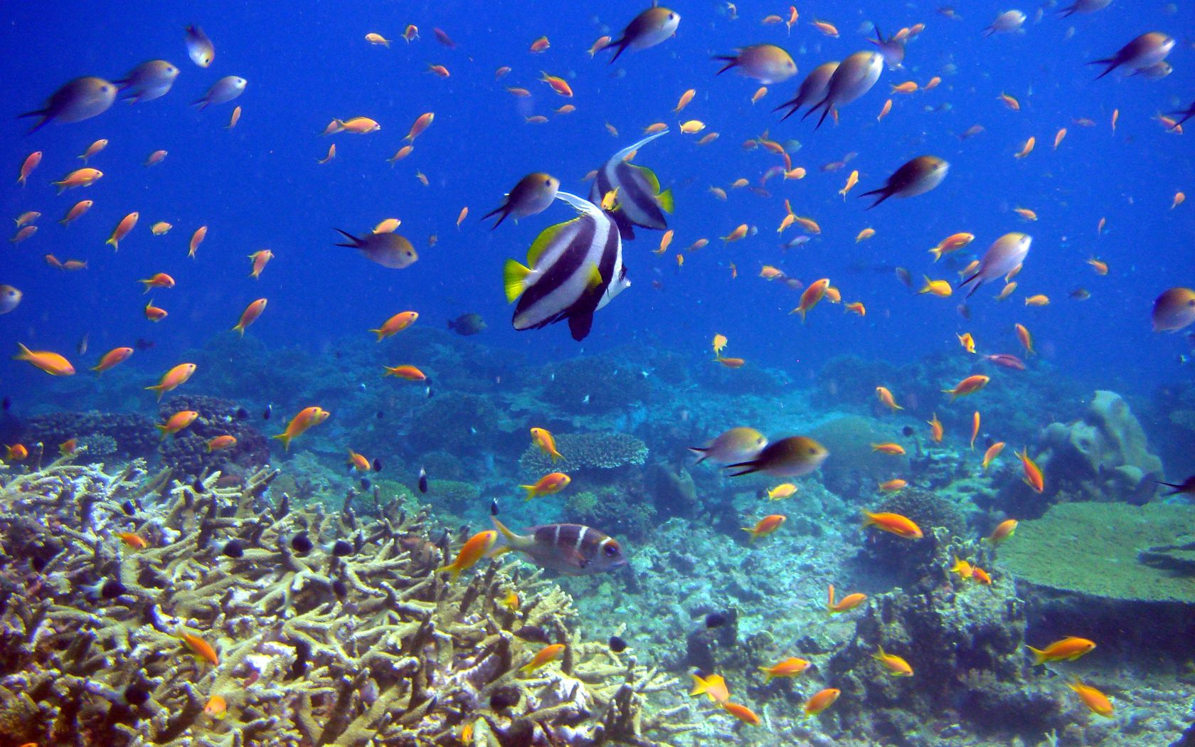 82955 download wallpaper Animals, Underwater World, Fishes, Coral screensavers and pictures for free