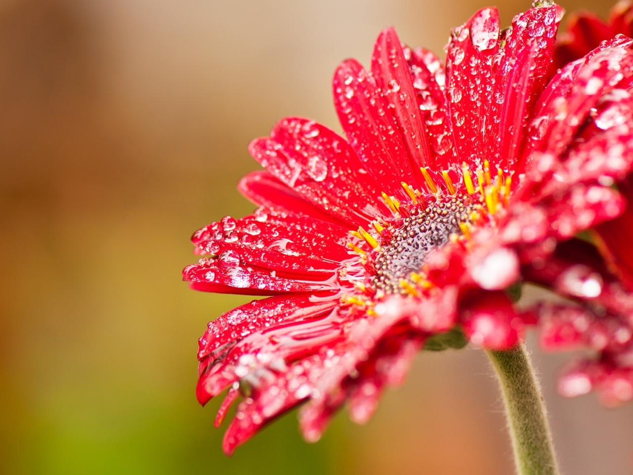 25529 download wallpaper Plants, Flowers, Drops screensavers and pictures for free