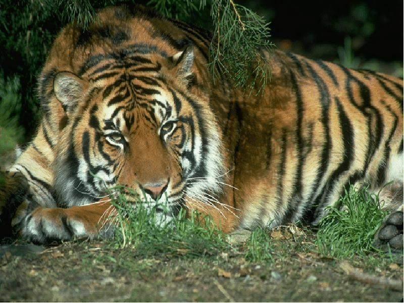 48462 descargar fondo de pantalla Animales, Tigres: protectores de pantalla e imágenes gratis