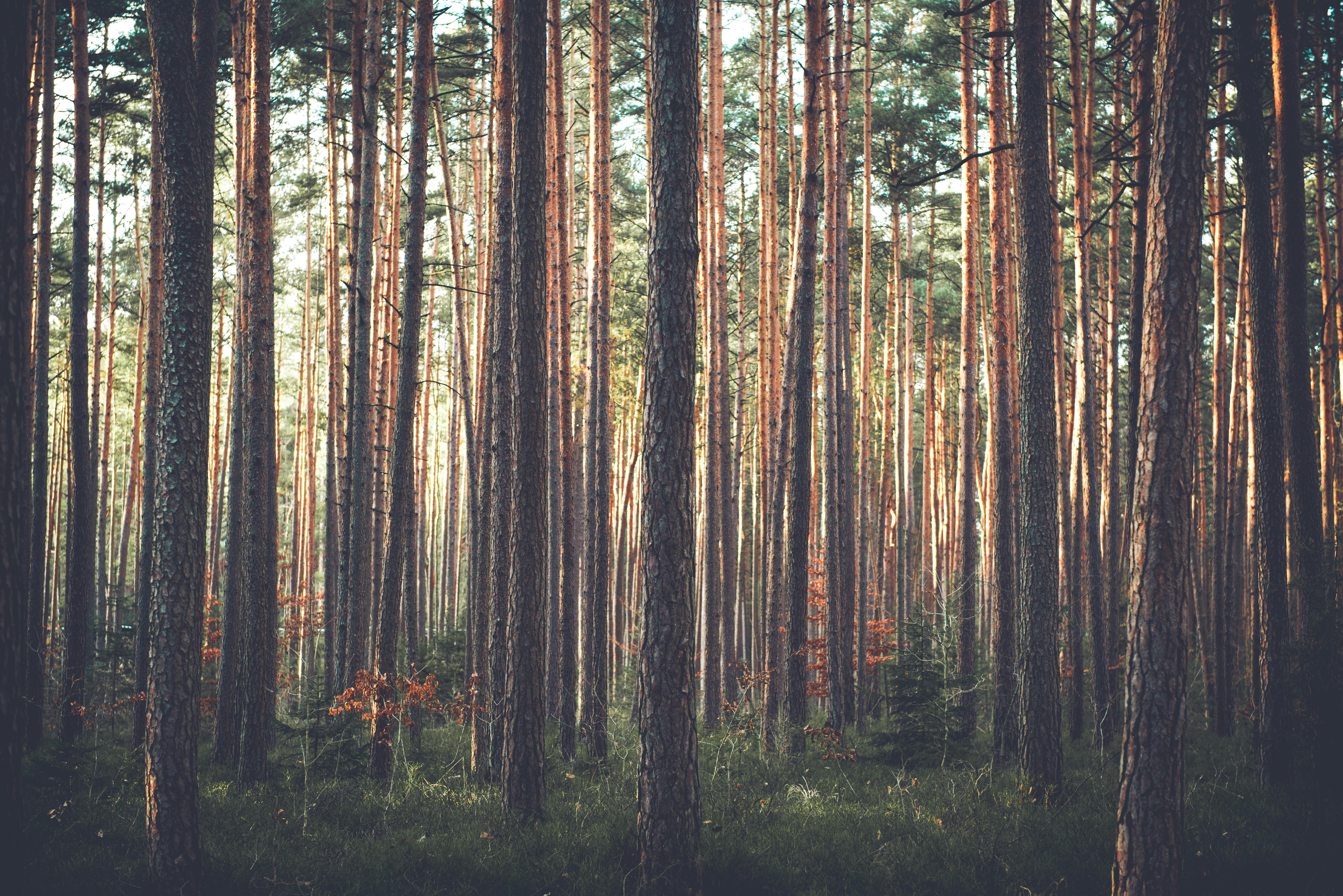 95145 скачать обои Природа, Лес, Деревья, Трава, Сосны - заставки и картинки бесплатно