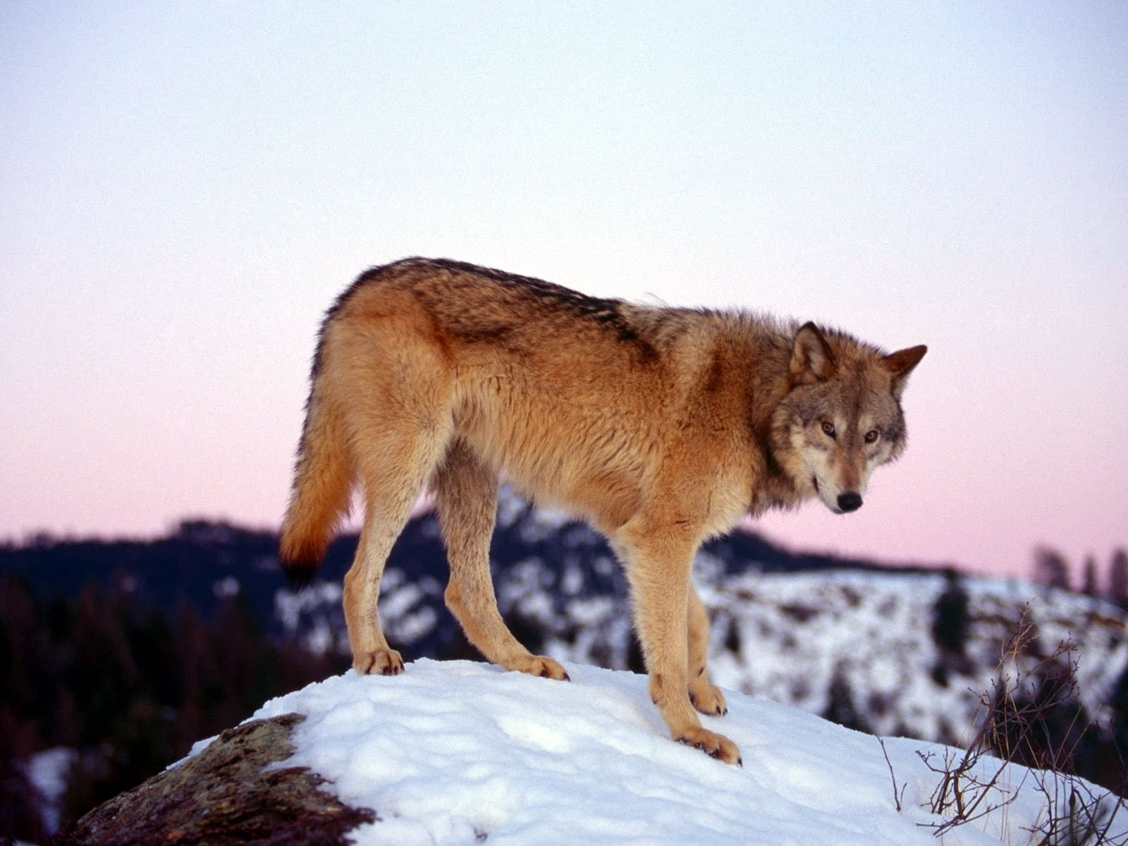 5181 download wallpaper Animals, Wolfs screensavers and pictures for free