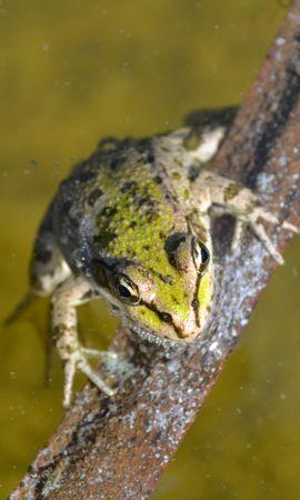 23941 baixar papel de parede Animais, Frogs - protetores de tela e imagens gratuitamente