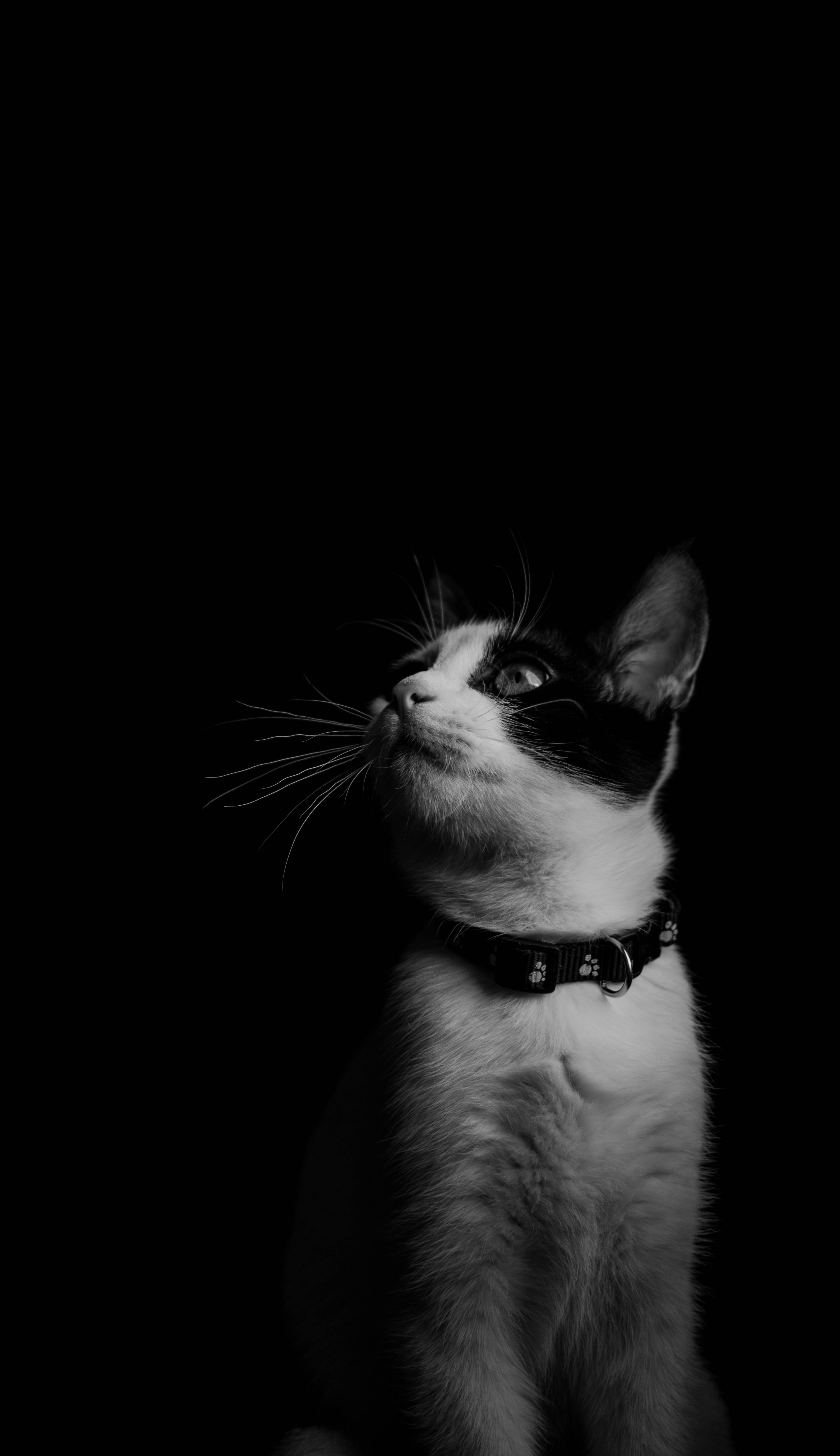 104970 Screensavers and Wallpapers Collar for phone. Download Animals, Cat, Kitty, Kitten, Bw, Chb, Collar pictures for free