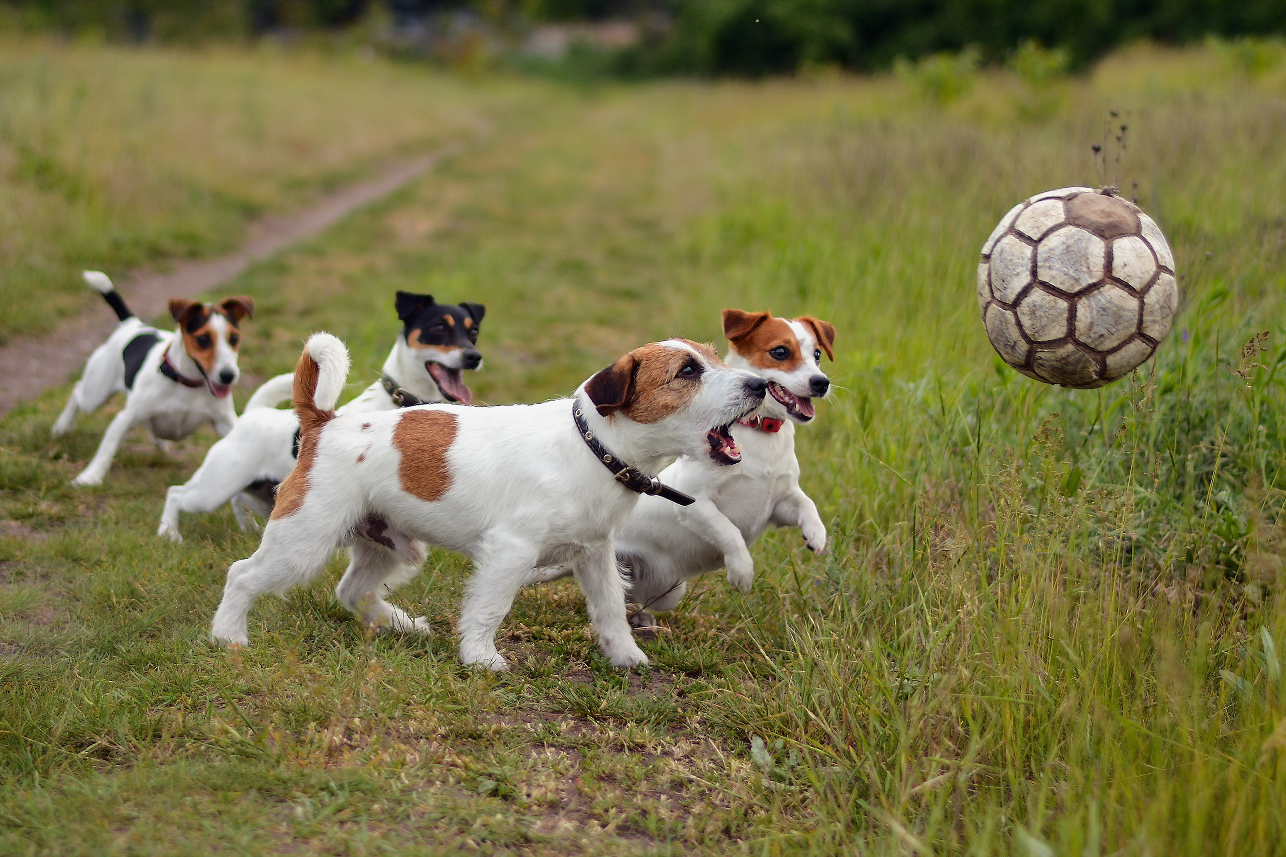98074 download wallpaper Animals, Dogs, Grass, Ball, Playful, Puppies screensavers and pictures for free