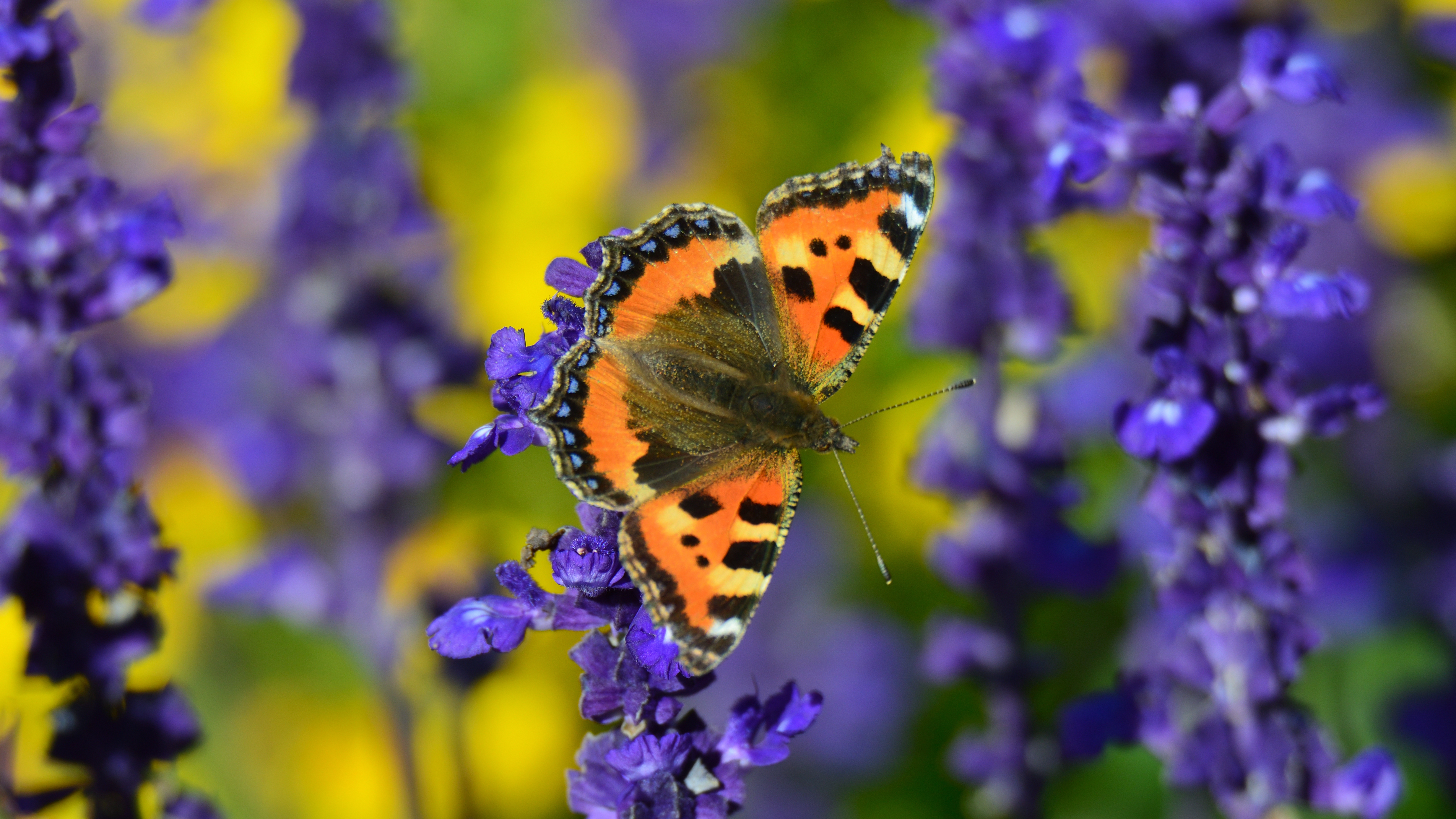 94655 Screensavers and Wallpapers Butterfly for phone. Download Flowers, Macro, Close-Up, Butterfly, Turtle Butterfly, Tortoiseshell Butterfly pictures for free