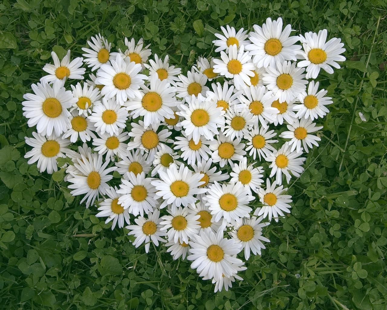 2508 скачать обои Ромашки, Цветы, Любовь, Сердца, Растения, День Святого Валентина (Valentine's Day) - заставки и картинки бесплатно