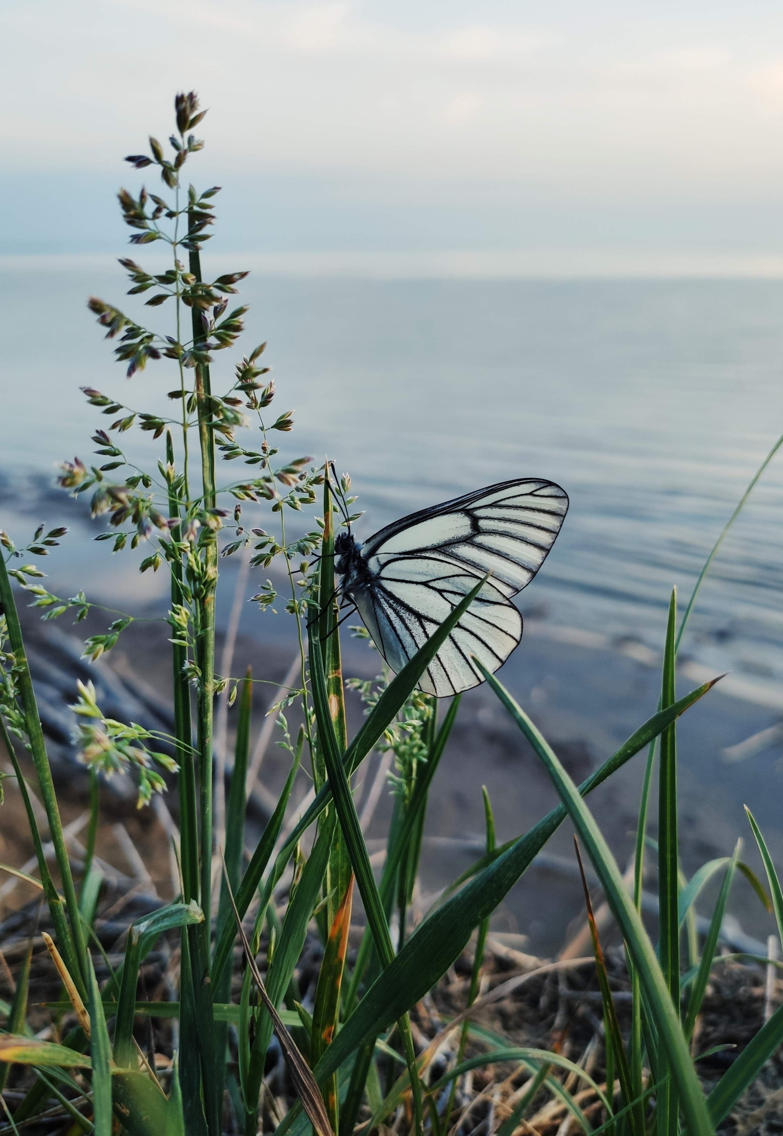 手機的95624屏保和壁紙昆虫。 免費下載 宏, 蝴蝶, 草, 昆虫, 白色的 圖片