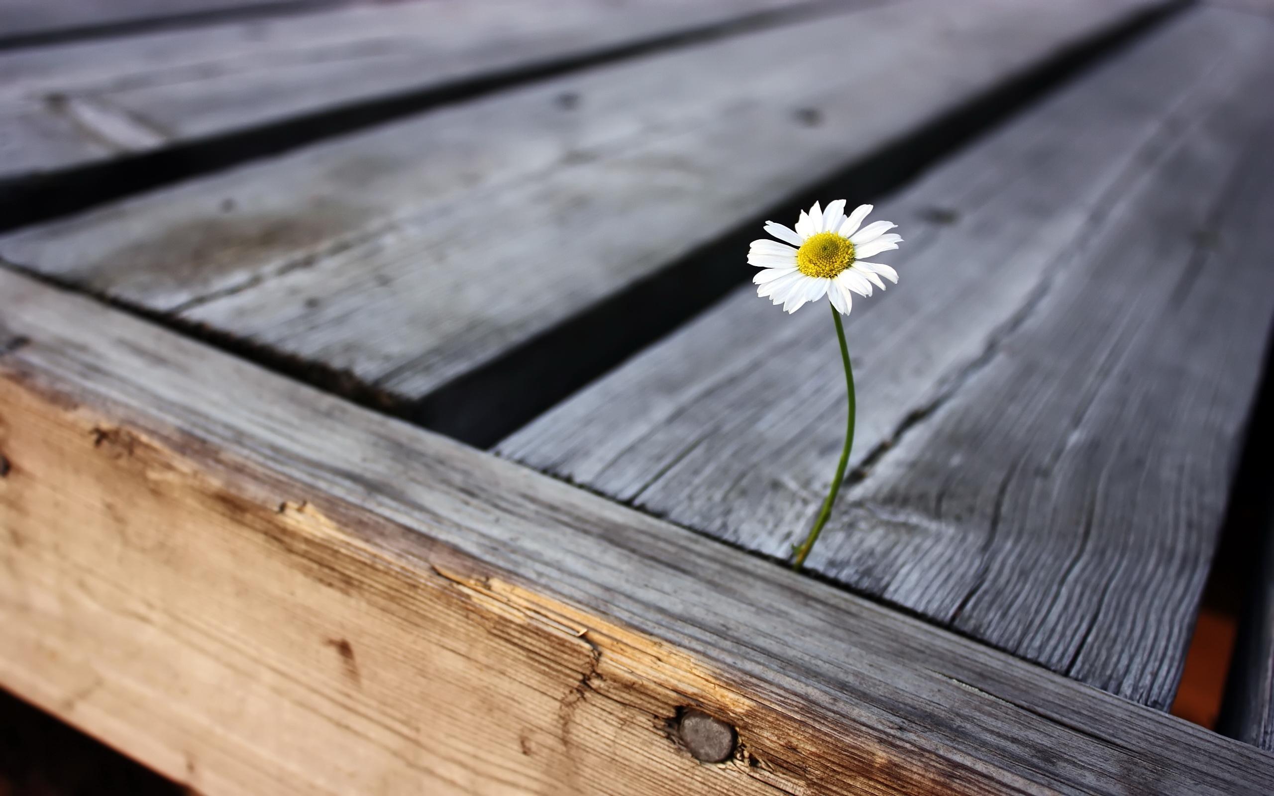 48527 скачать обои Растения, Цветы, Ромашки - заставки и картинки бесплатно