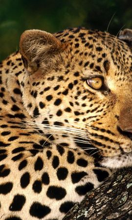 17063 download wallpaper Animals, Leopards screensavers and pictures for free