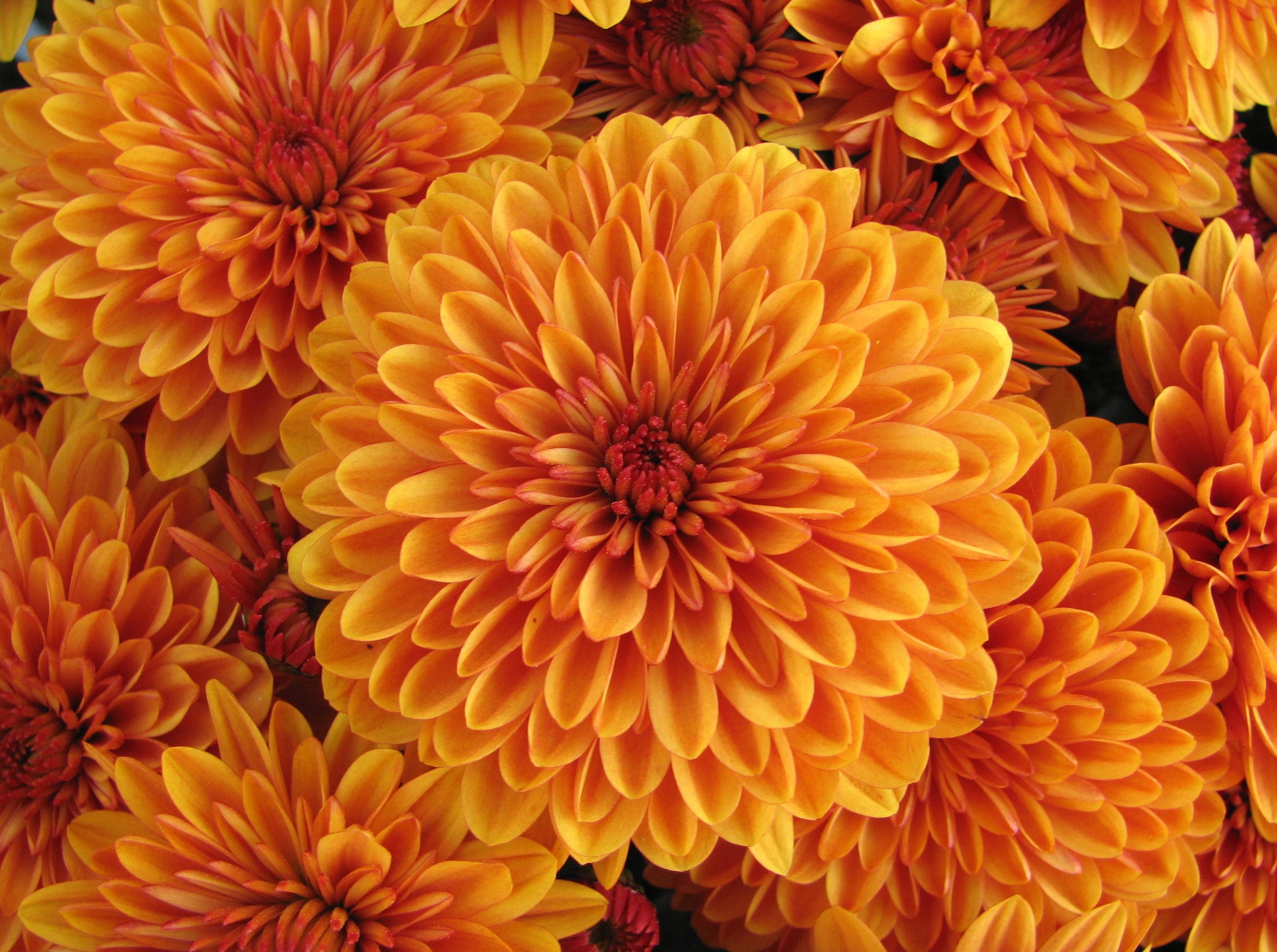 57652 скачать обои Цветы, Георгина, Оранжевый, Бутон, Лепестки - заставки и картинки бесплатно