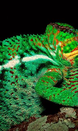 118793 download wallpaper Animals, Chameleon, Color, Head, Torso, Body screensavers and pictures for free