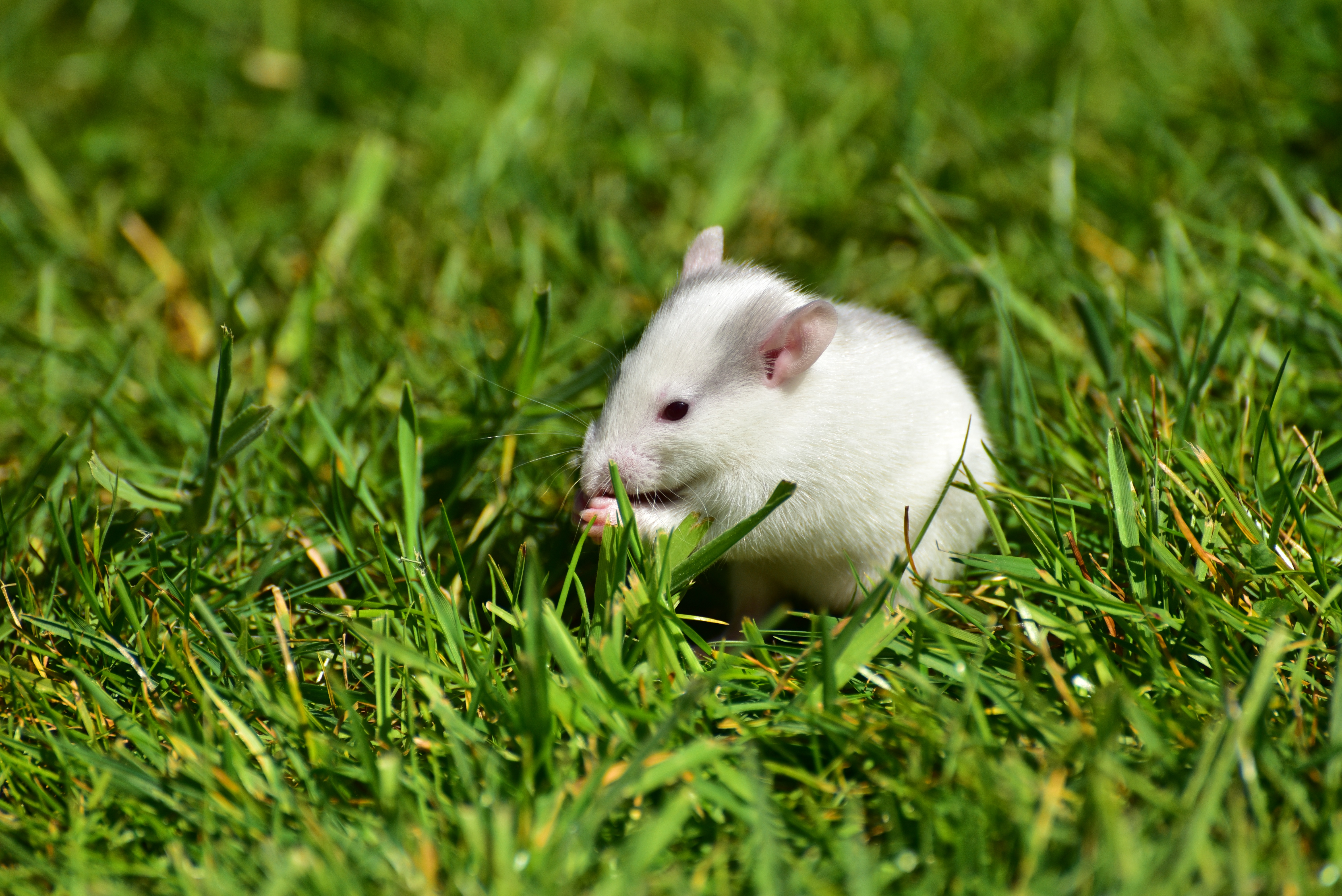 146060 download wallpaper Animals, Rat, Grass, Stroll, Rodent screensavers and pictures for free