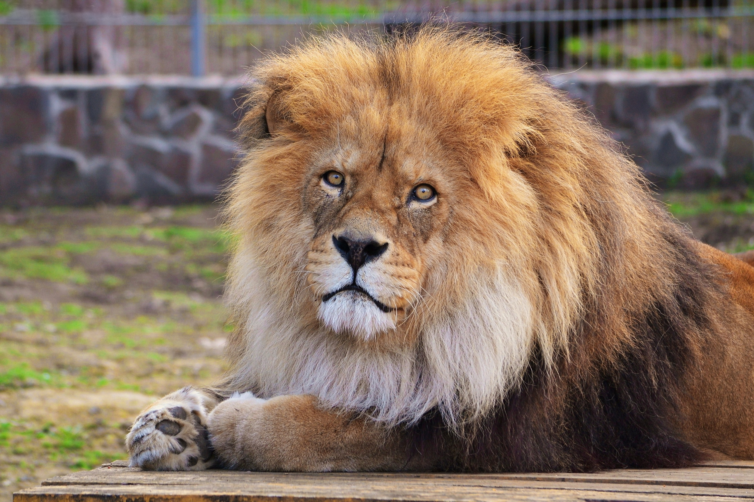130389 download wallpaper Animals, Lion, Mane, Predator, To Lie Down, Lie screensavers and pictures for free