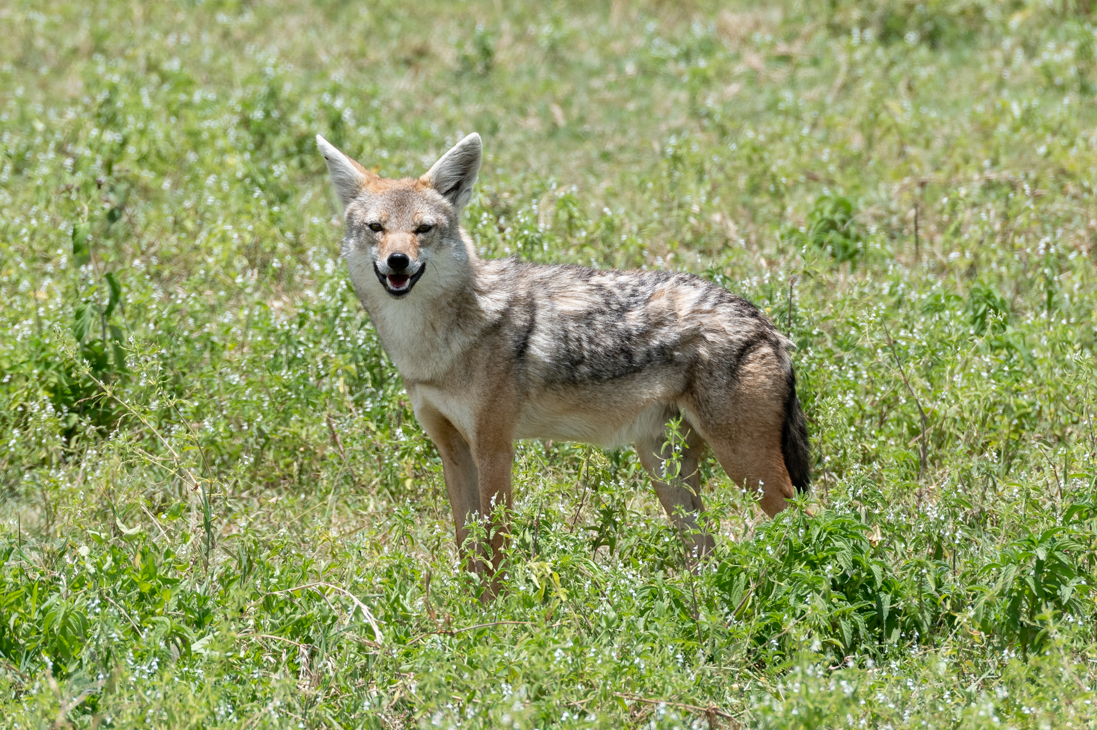 91636 download wallpaper Animals, Jackal, Animal, Predator, Wildlife screensavers and pictures for free